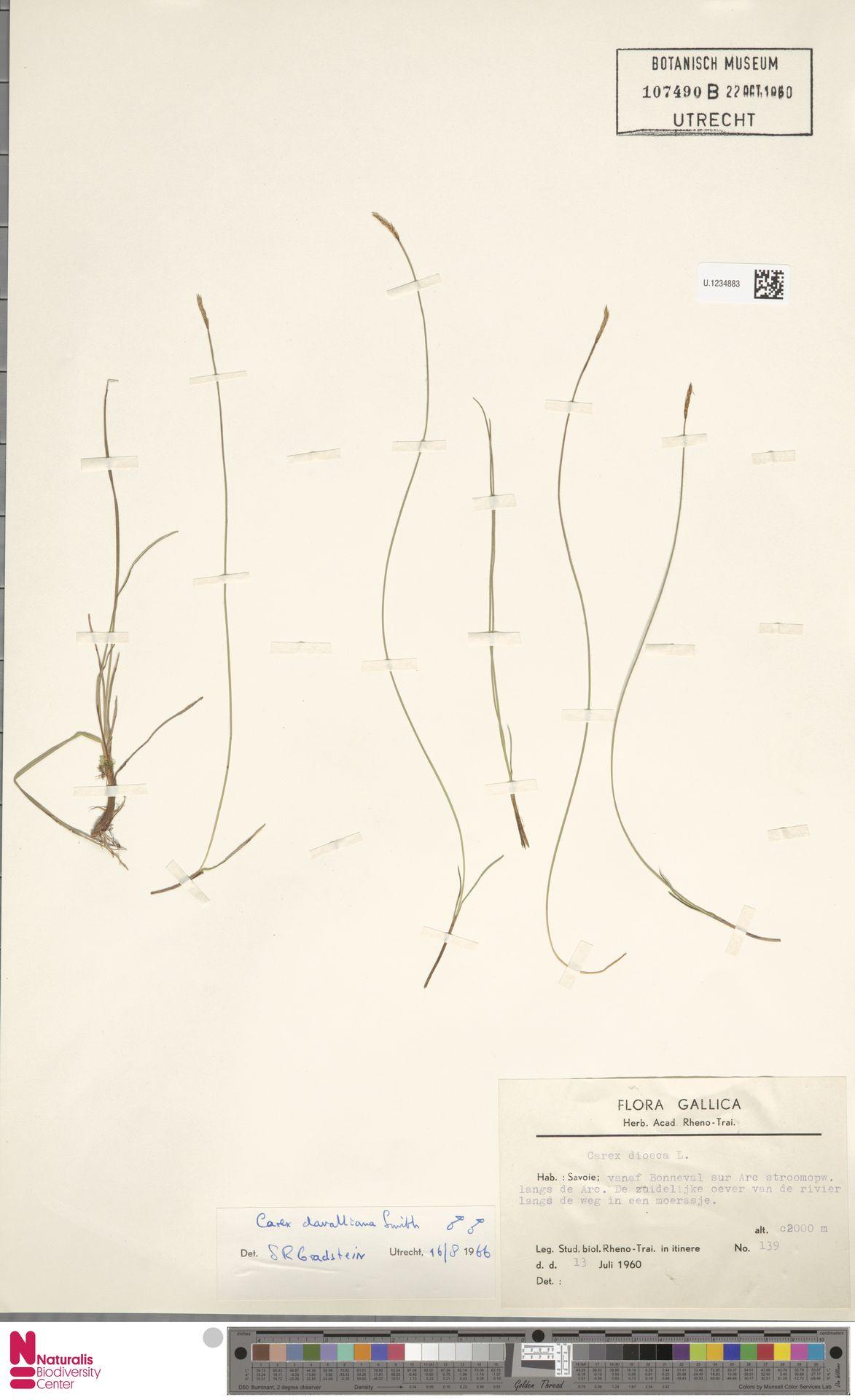 U.1234883 | Carex davalliana Sm.