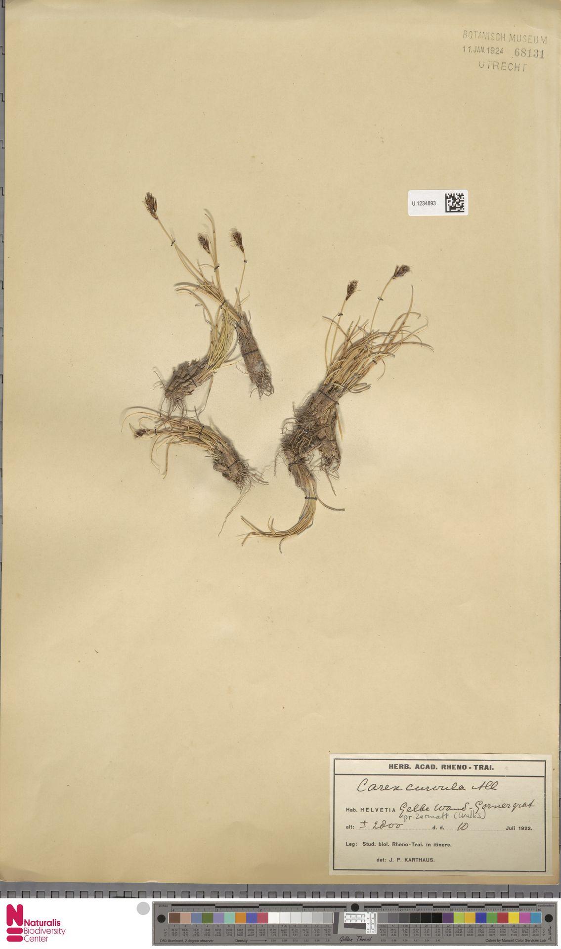 U.1234893 | Carex curvula All.