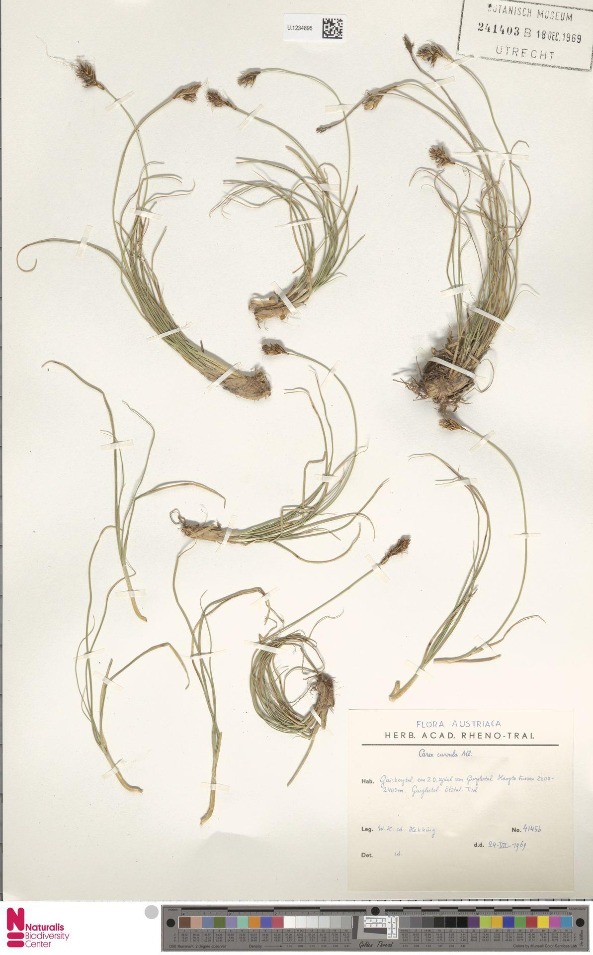 U.1234895   Carex curvula All.