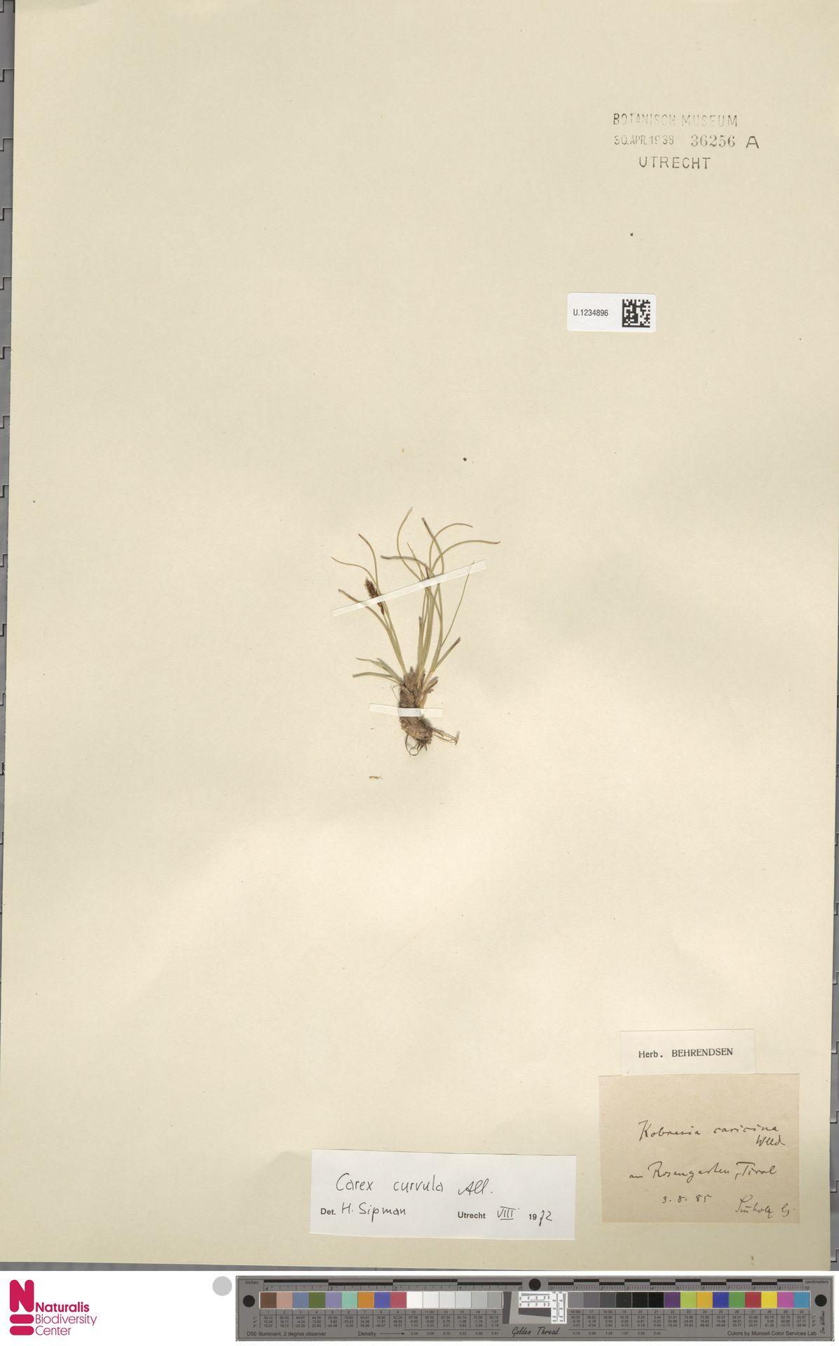 U.1234896   Carex curvula All.
