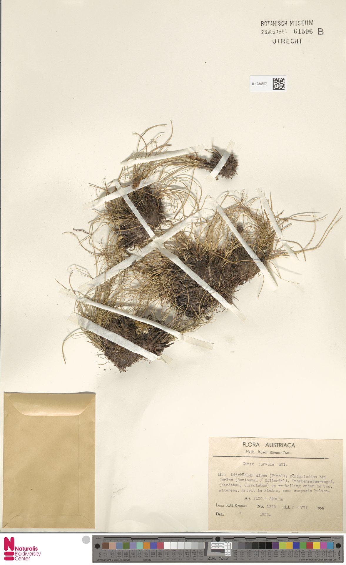 U.1234897 | Carex curvula All.