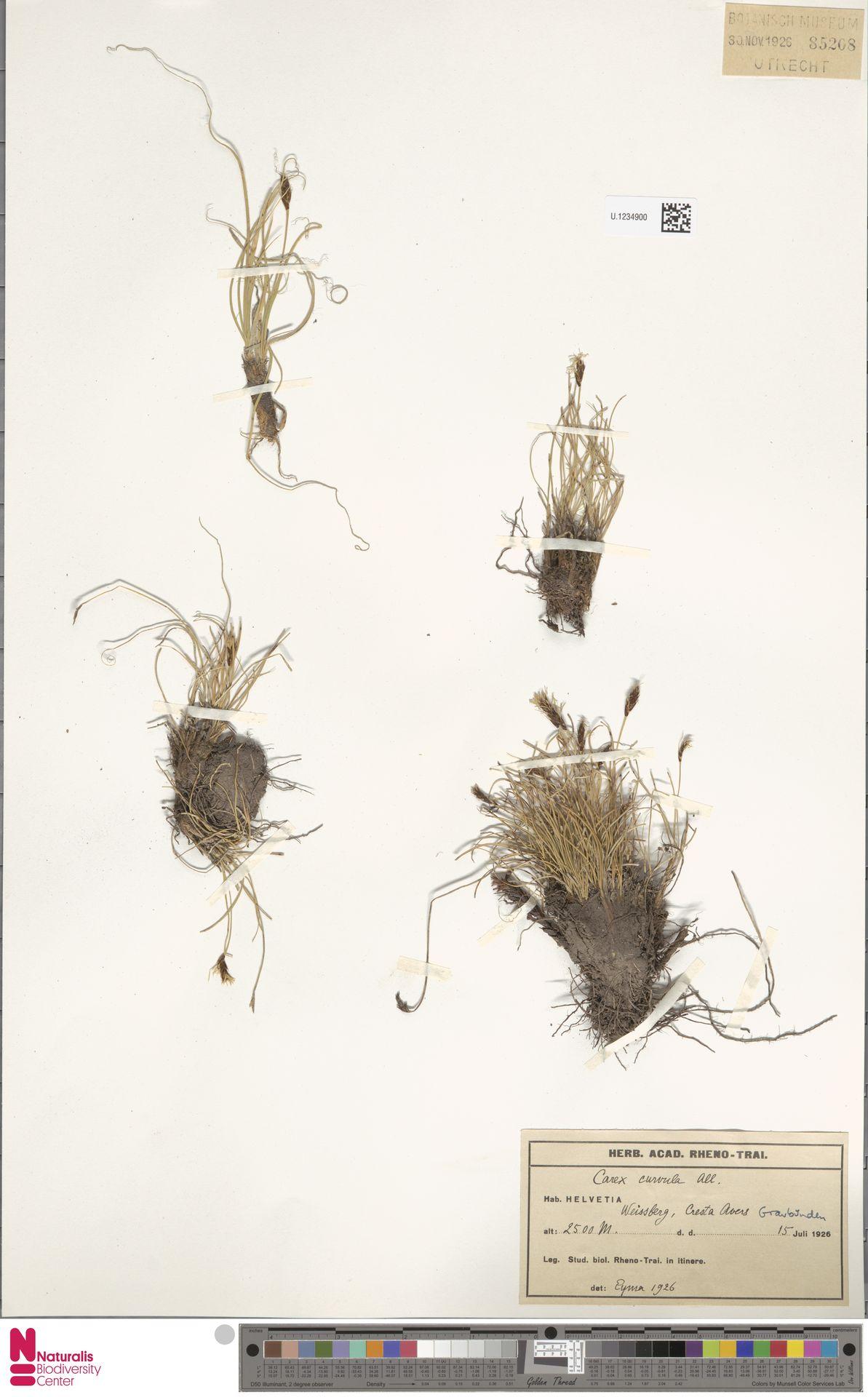 U.1234900   Carex curvula All.