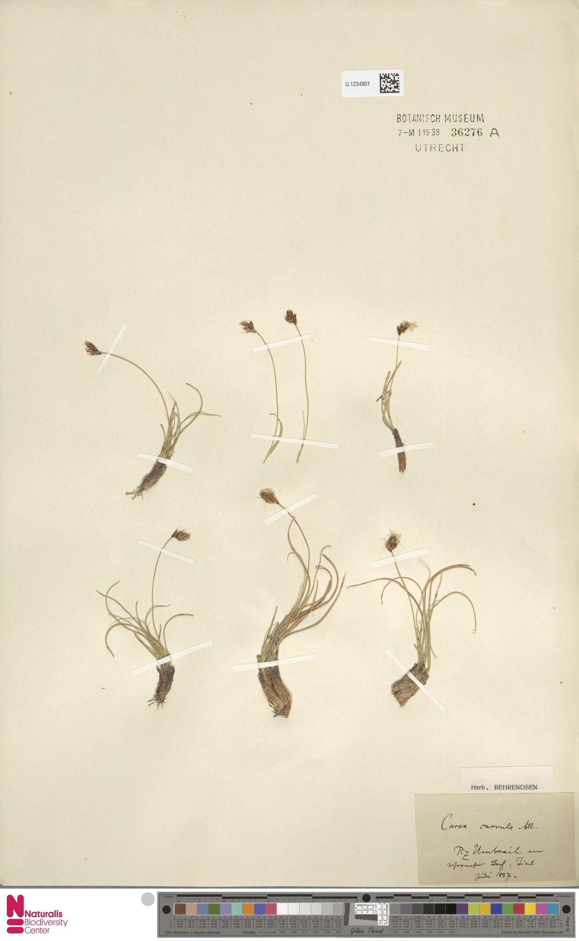 U.1234901   Carex curvula All.