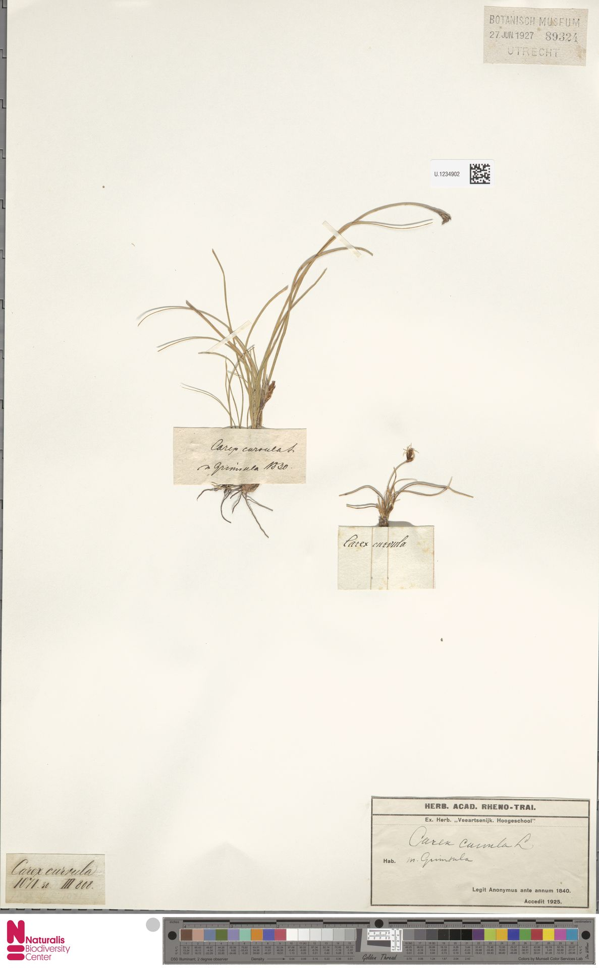 U.1234902 | Carex curvula All.