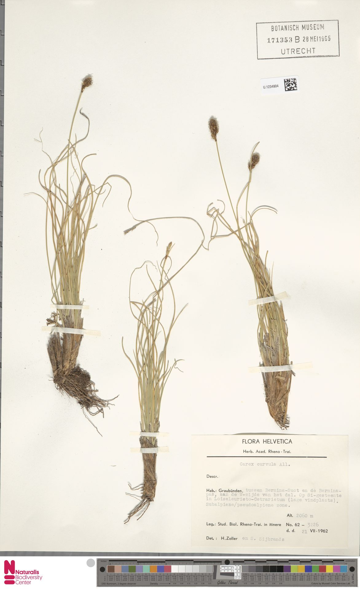 U.1234904 | Carex curvula All.