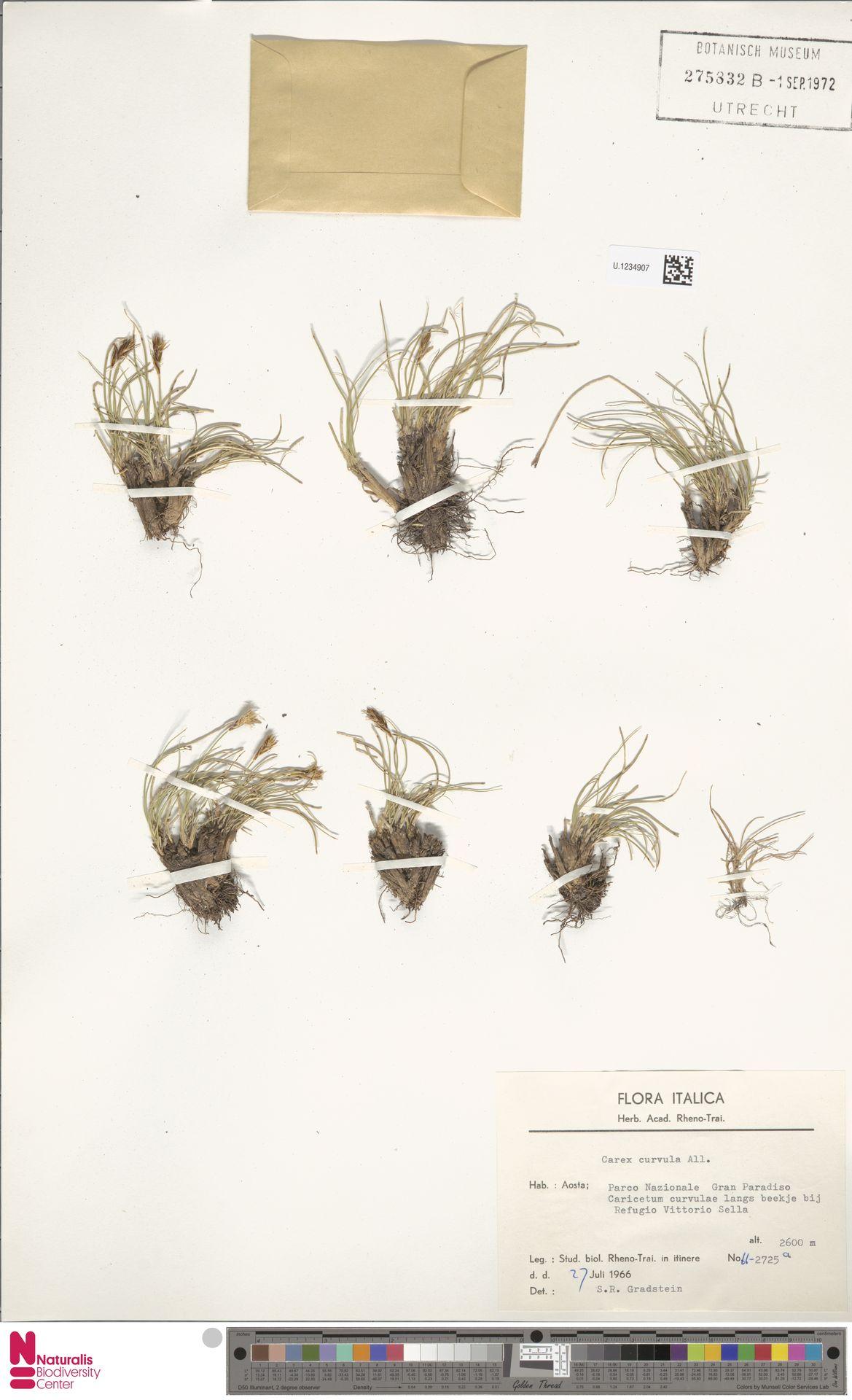 U.1234907 | Carex curvula All.