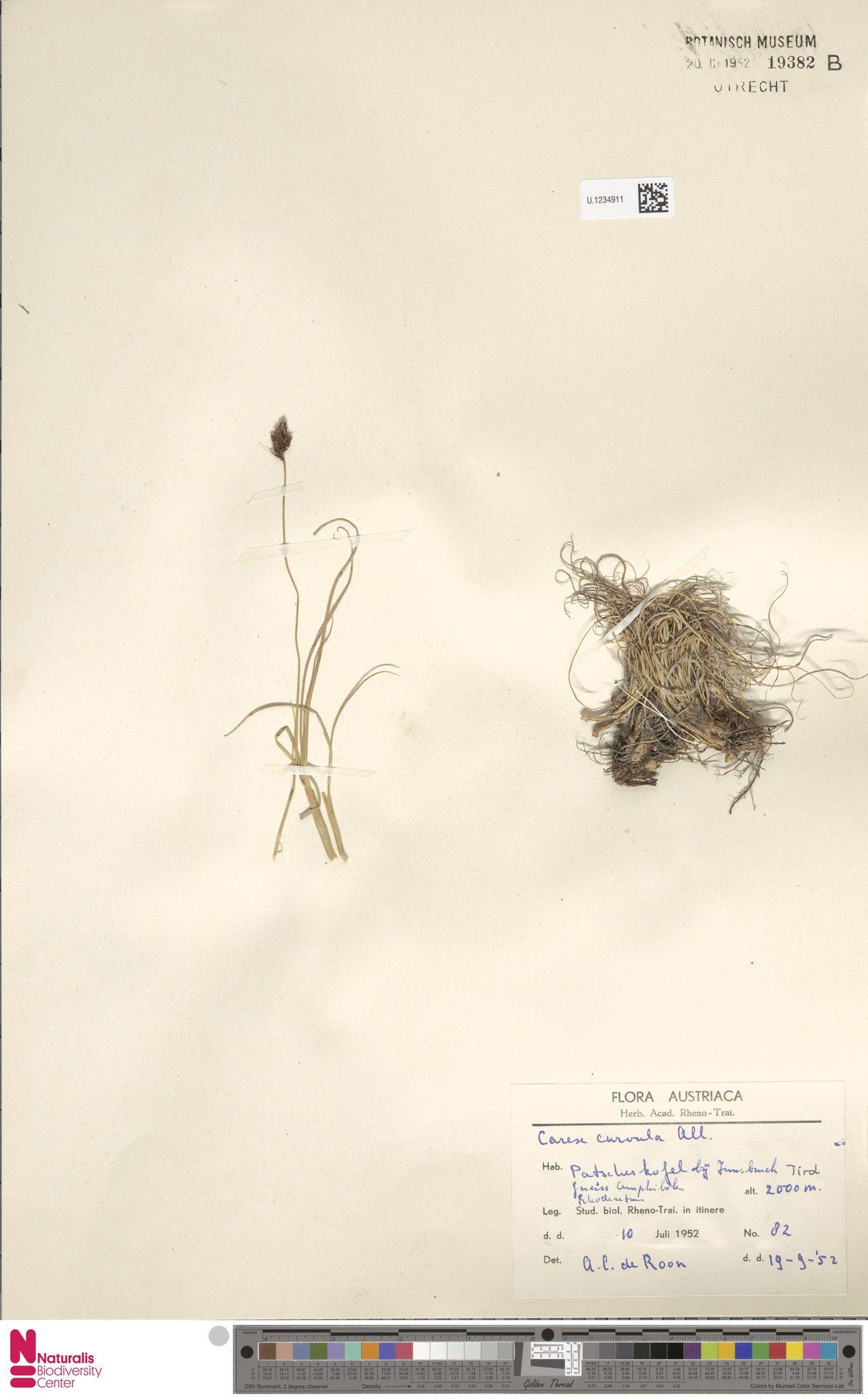 U.1234911 | Carex curvula All.