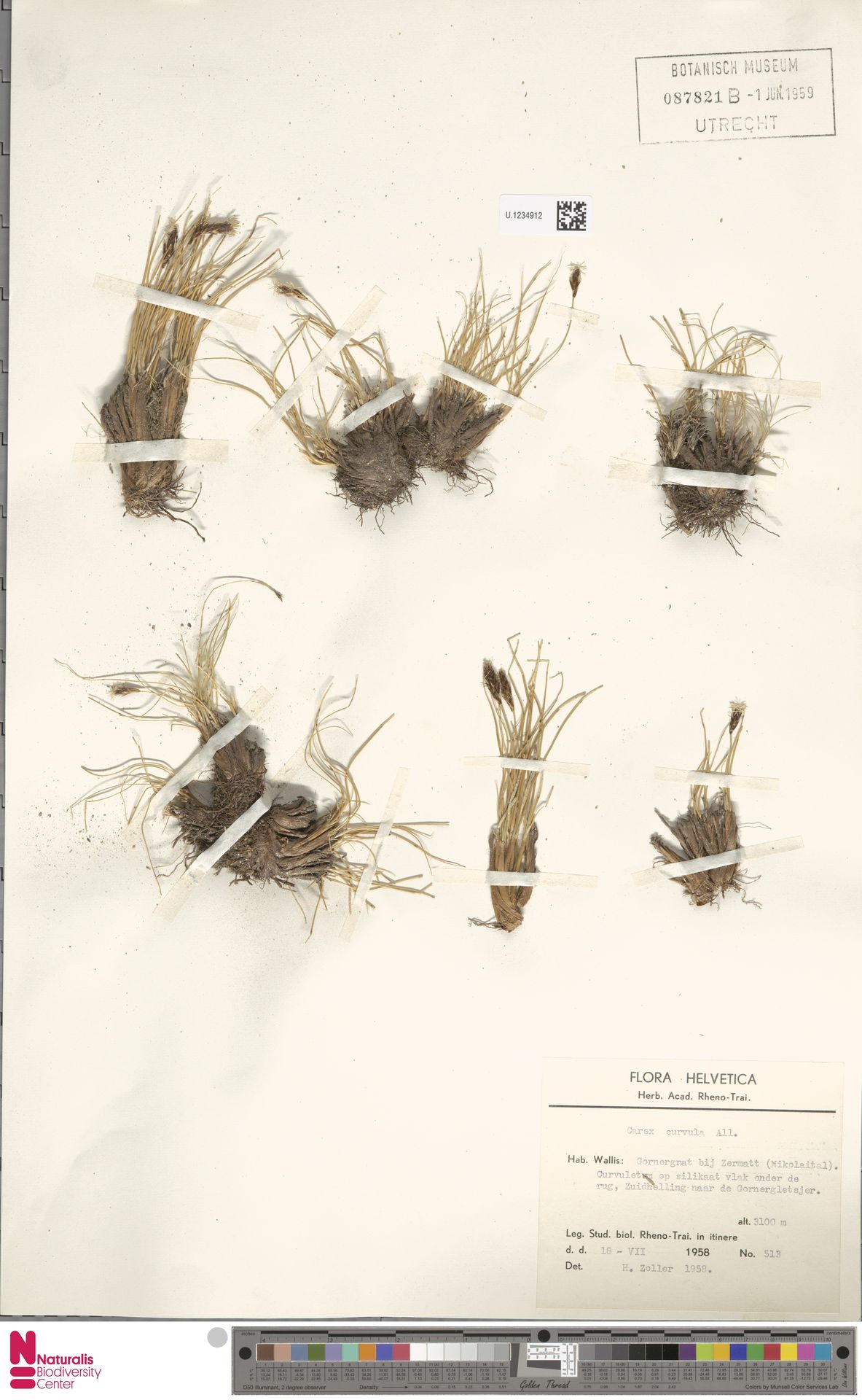 U.1234912   Carex curvula All.