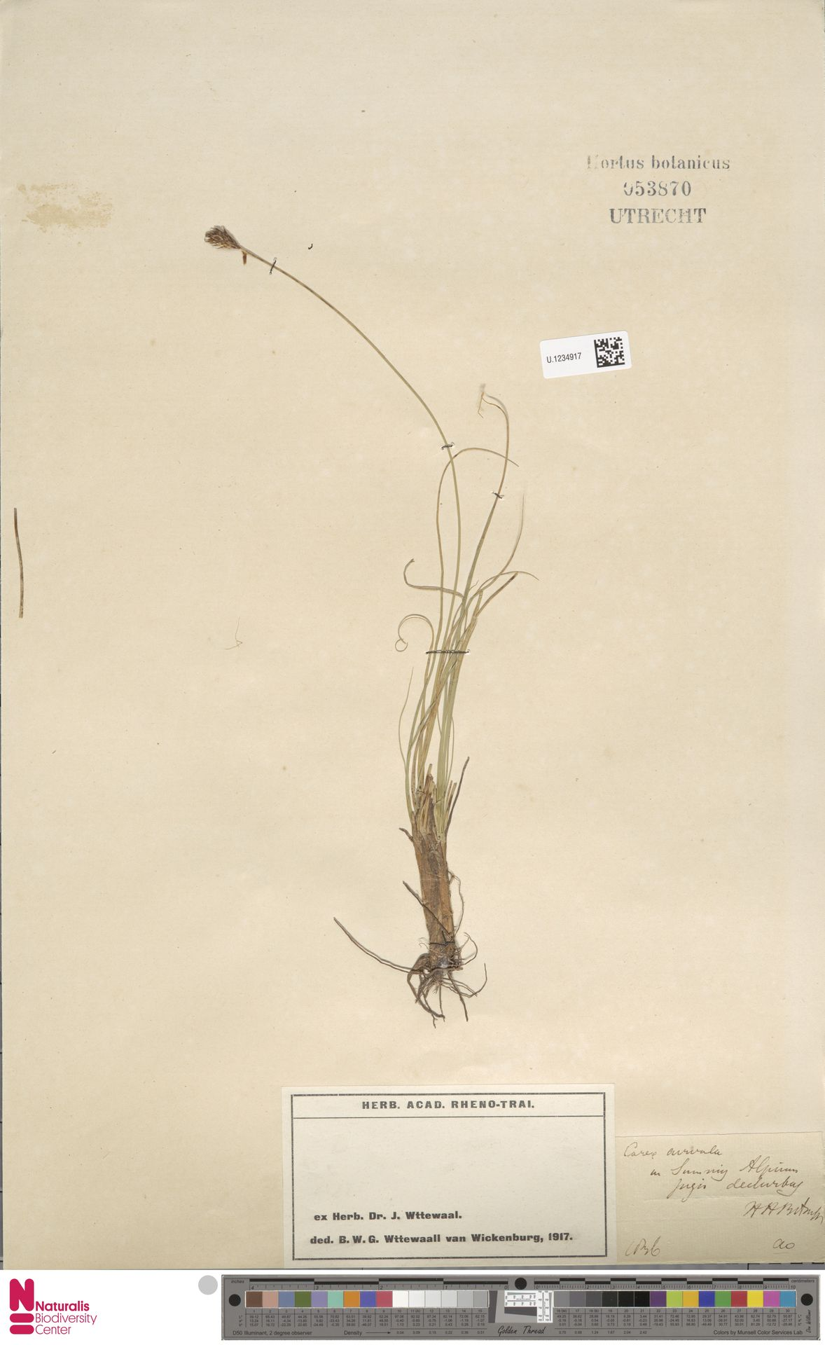U.1234917 | Carex curvula All.