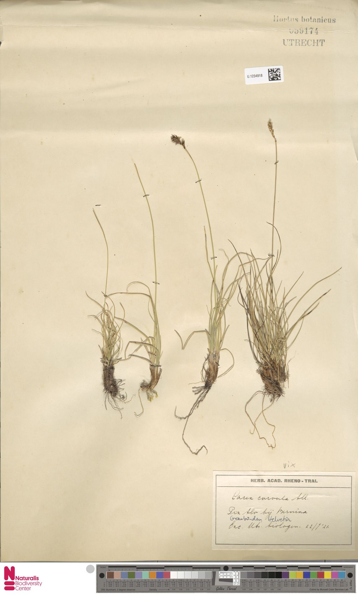 U.1234918 | Carex curvula All.