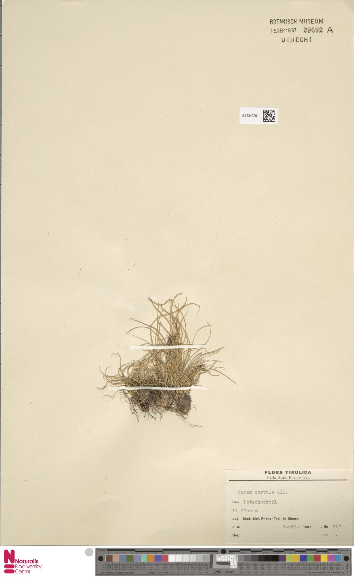 U.1234920 | Carex curvula All.