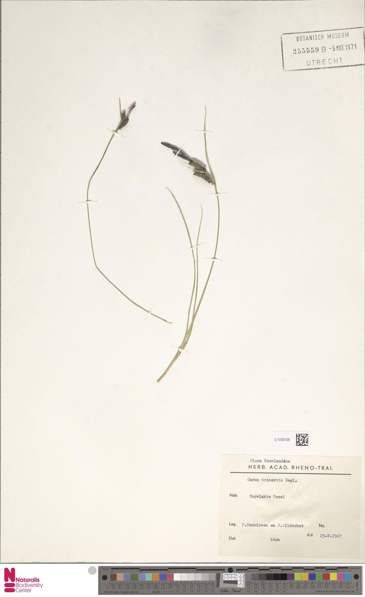 U.1235105 | Carex trinervis Degl.