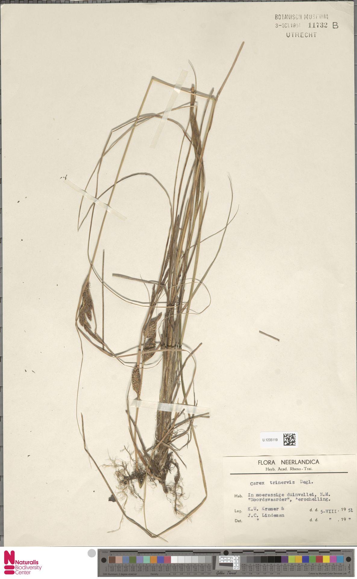 U.1235119 | Carex trinervis Degl.