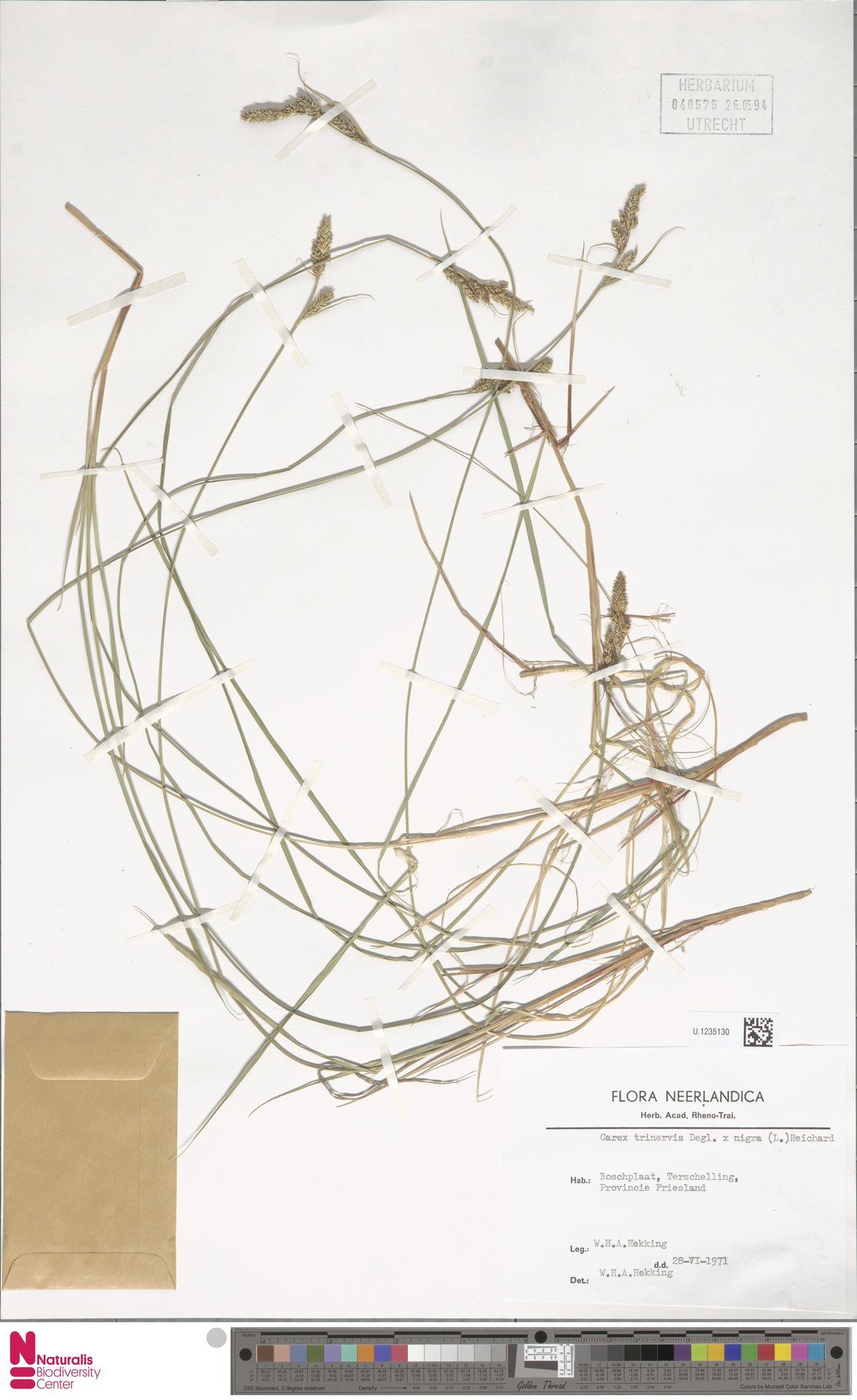 U.1235130 | Carex trinervis Degl.