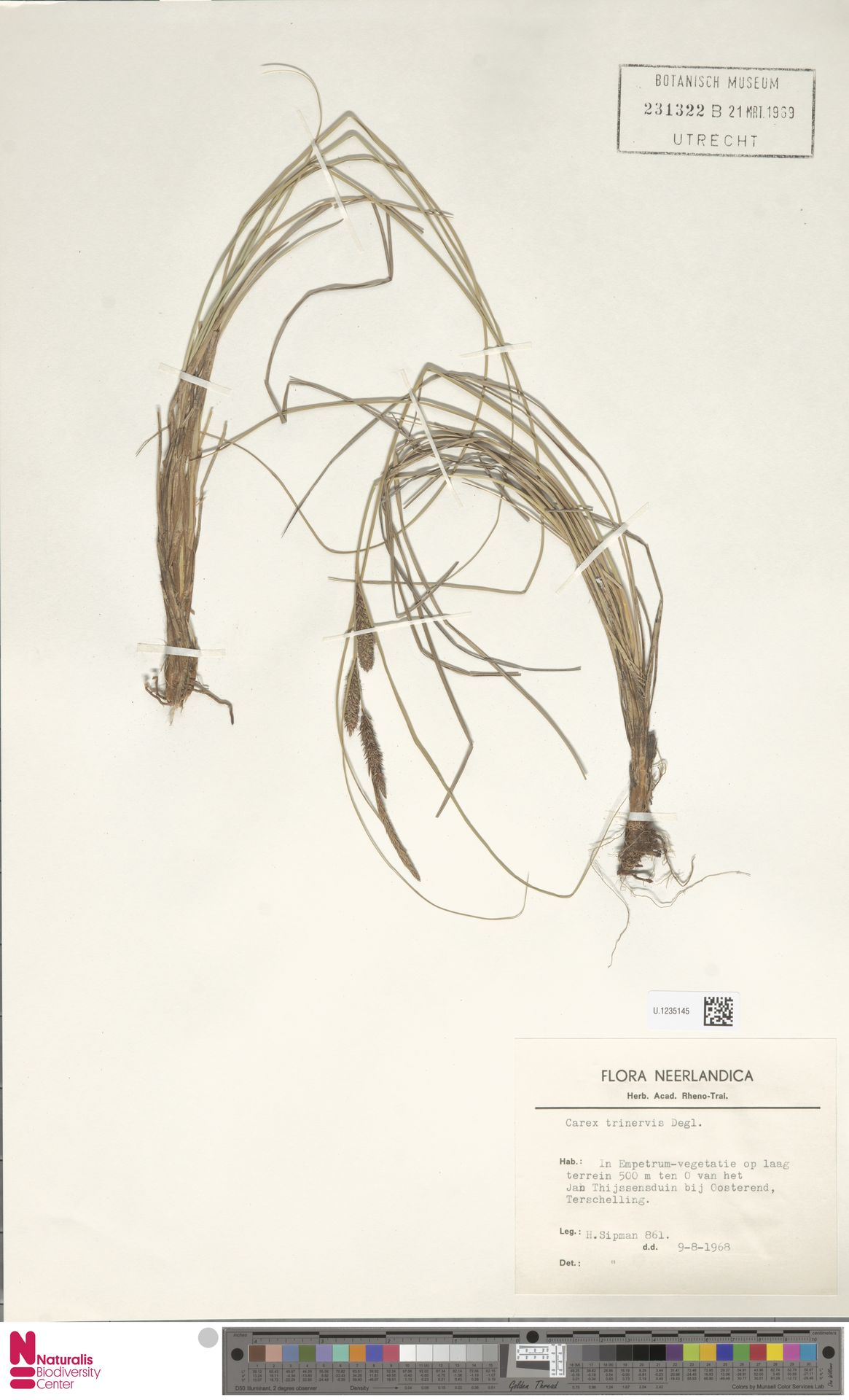 U.1235145   Carex trinervis Degl.