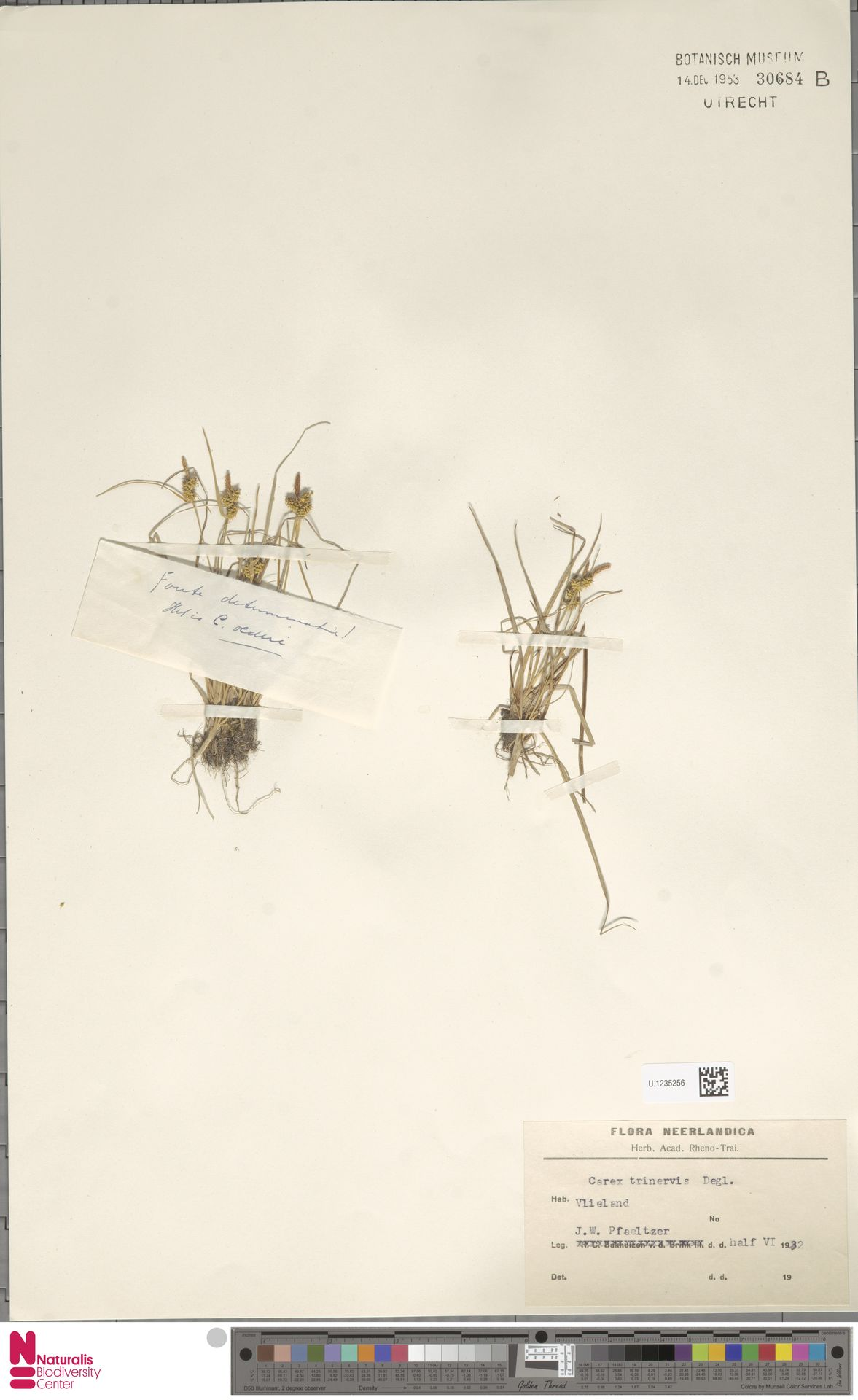 U.1235256 | Carex trinervis Degl.