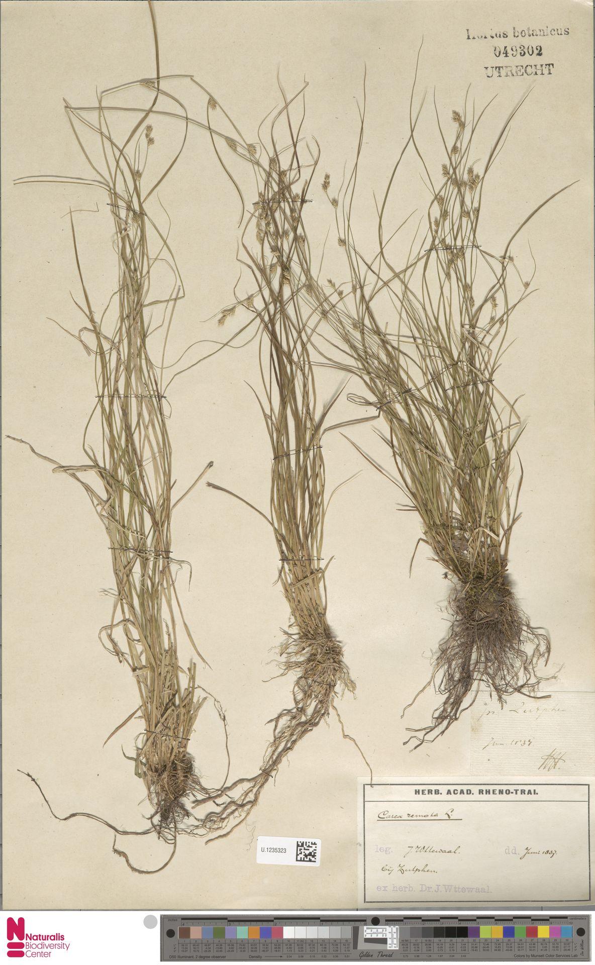 U.1235323 | Carex remota L.