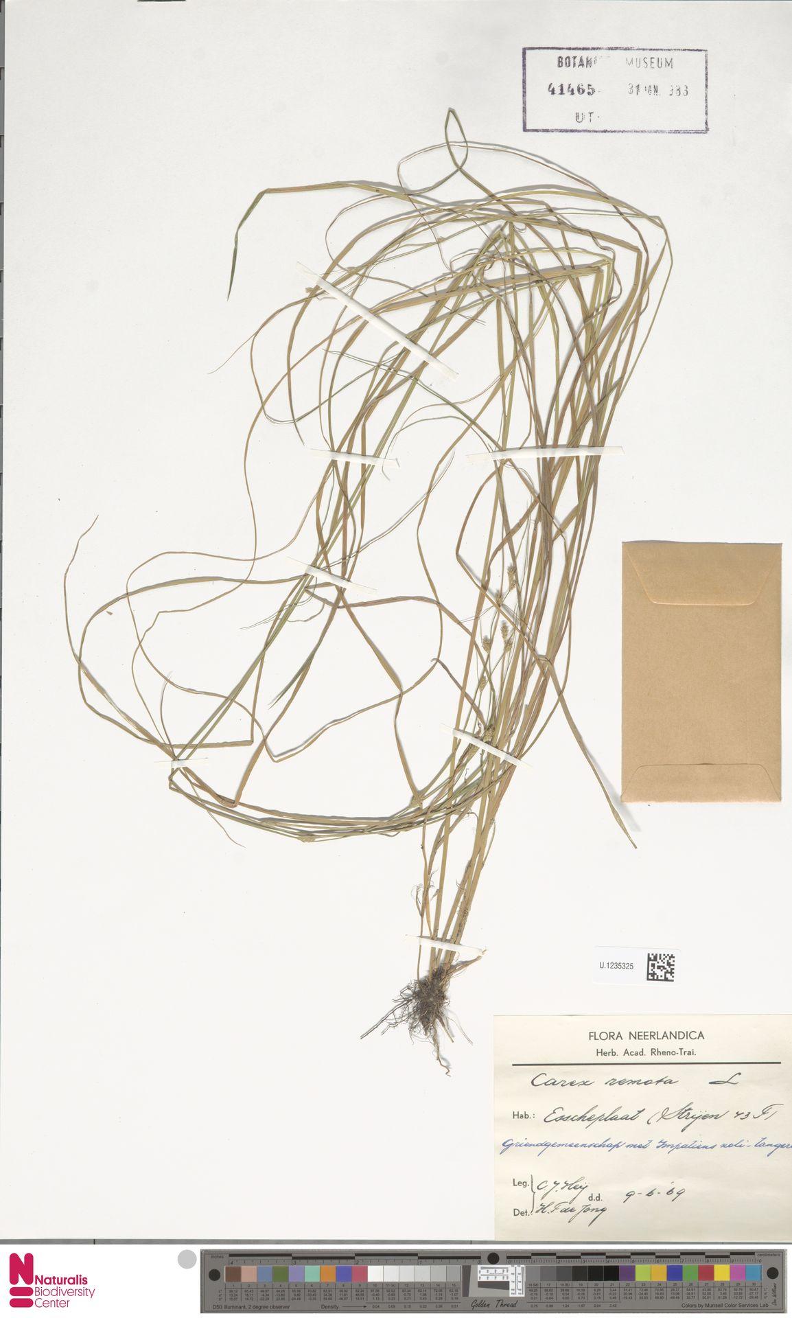U.1235325 | Carex remota L.