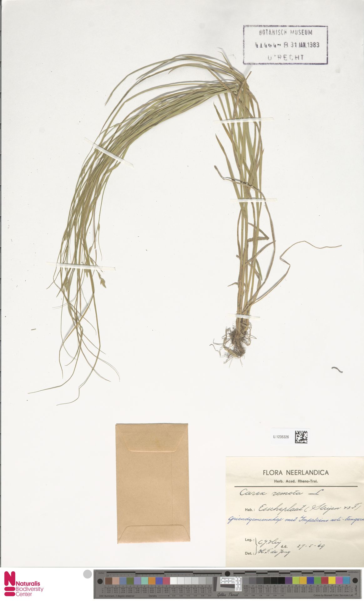 U.1235326 | Carex remota L.