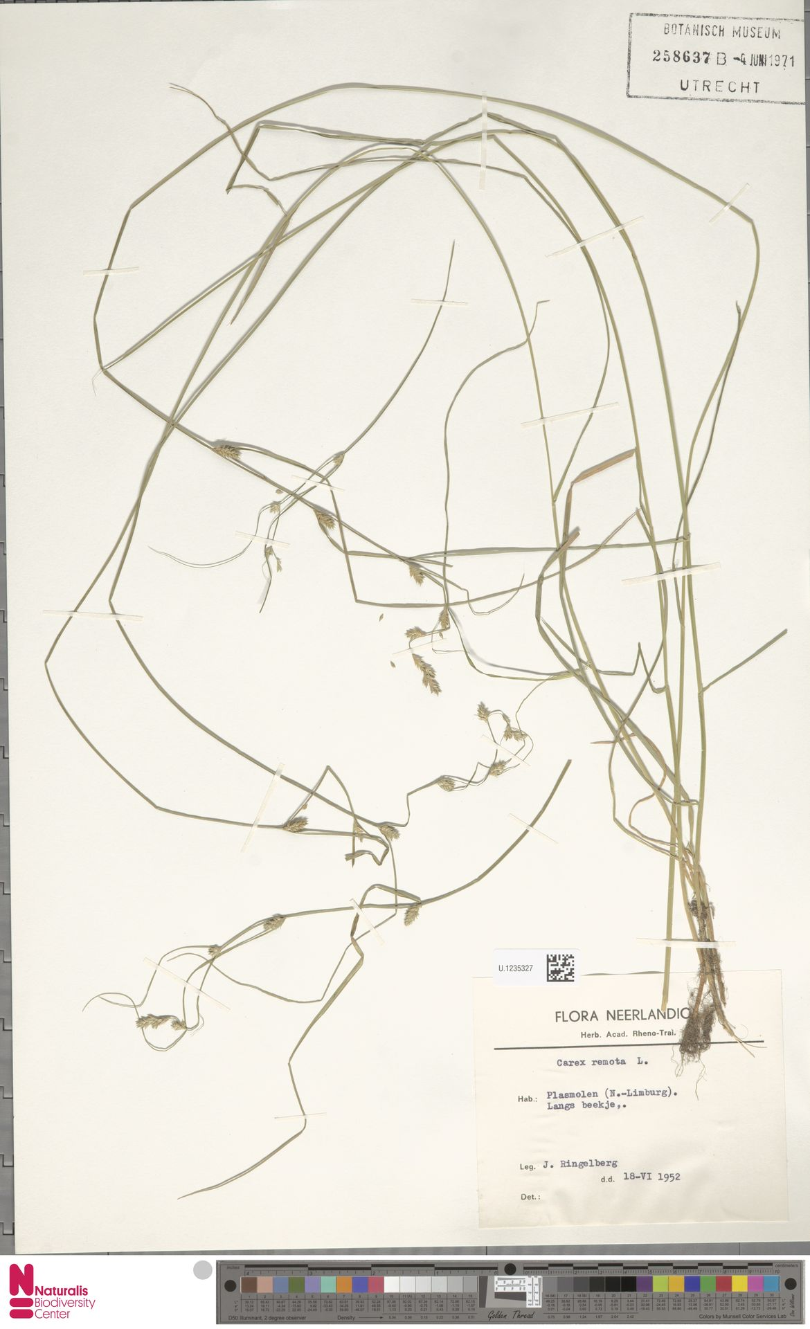 U.1235327 | Carex remota L.