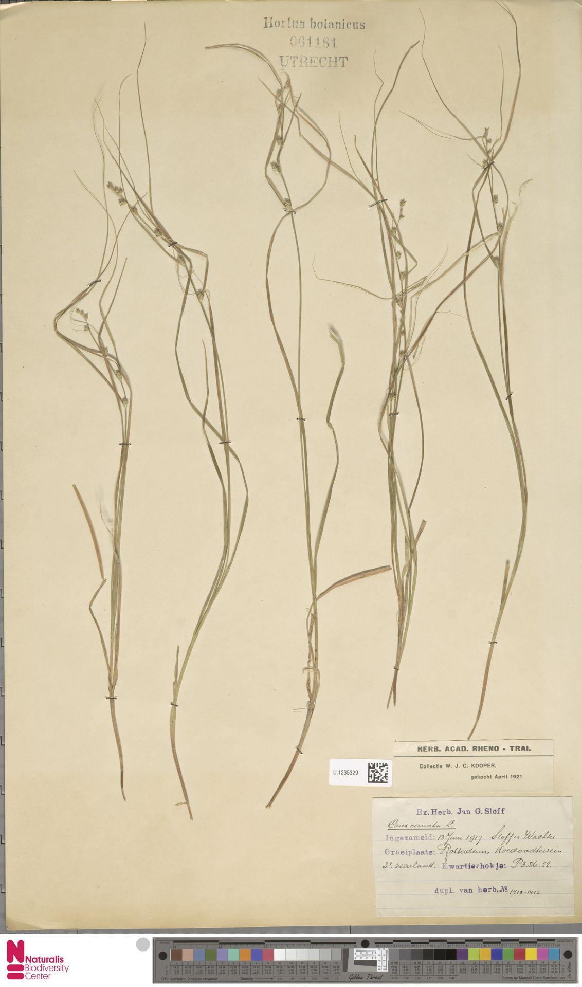 U.1235329 | Carex remota L.