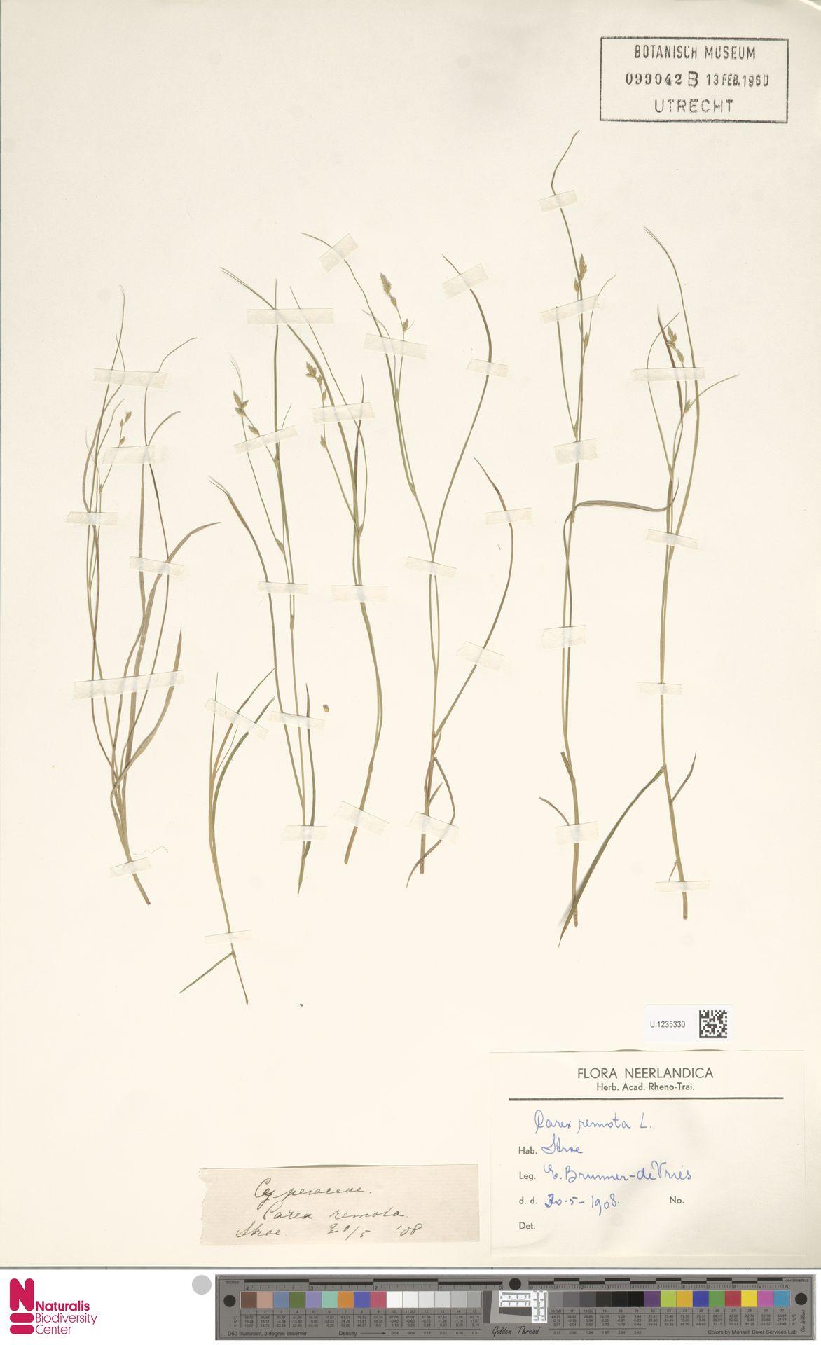 U.1235330 | Carex remota L.