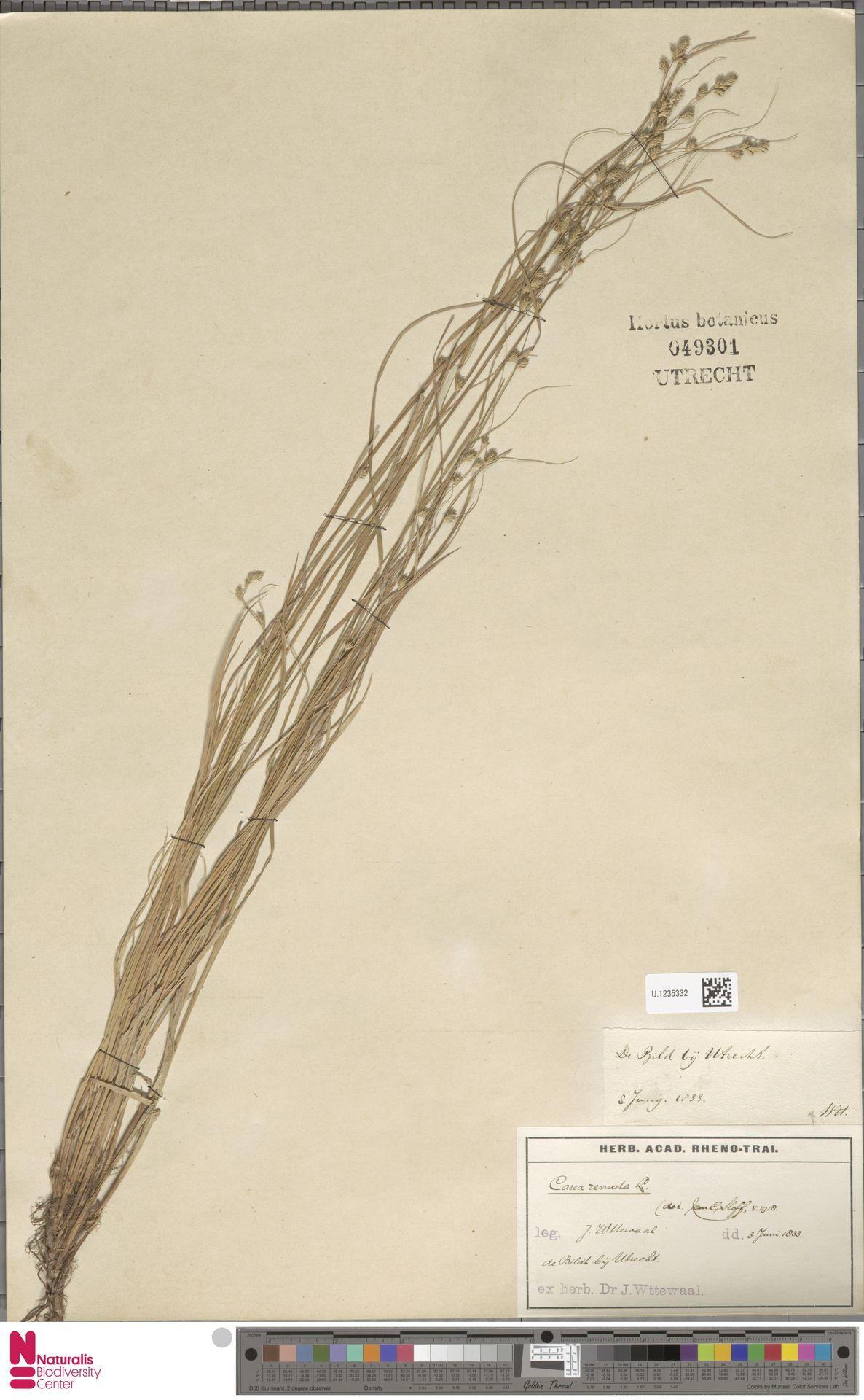 U.1235332 | Carex remota L.