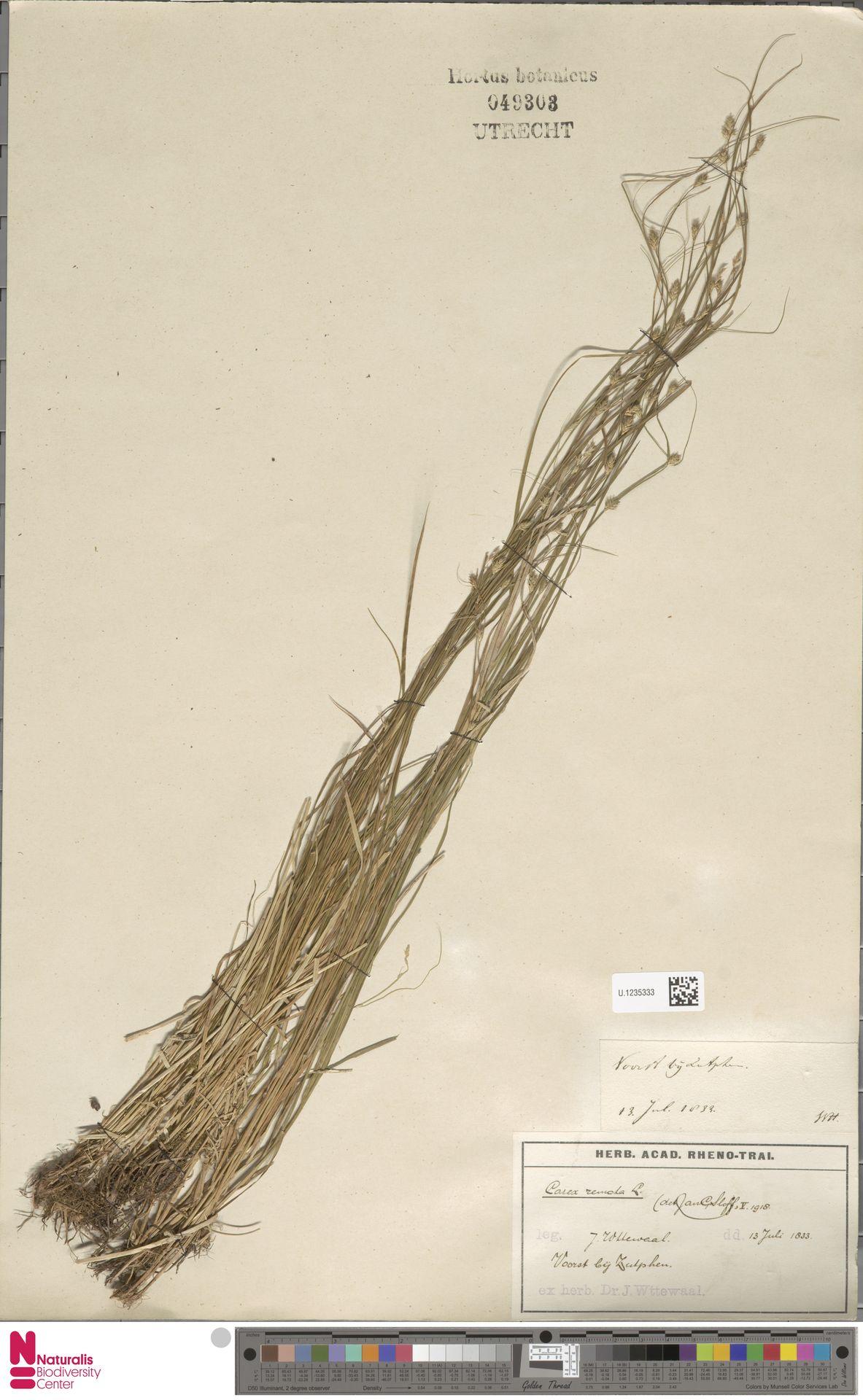 U.1235333 | Carex remota L.