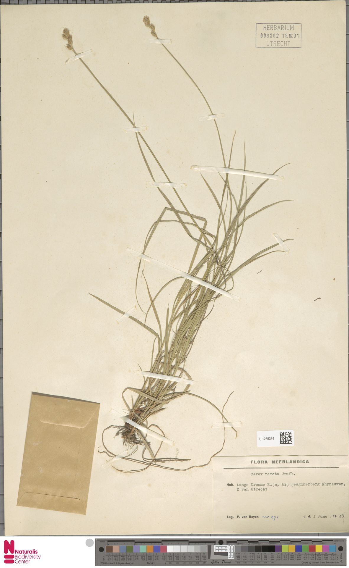 U.1235334 | Carex remota L.
