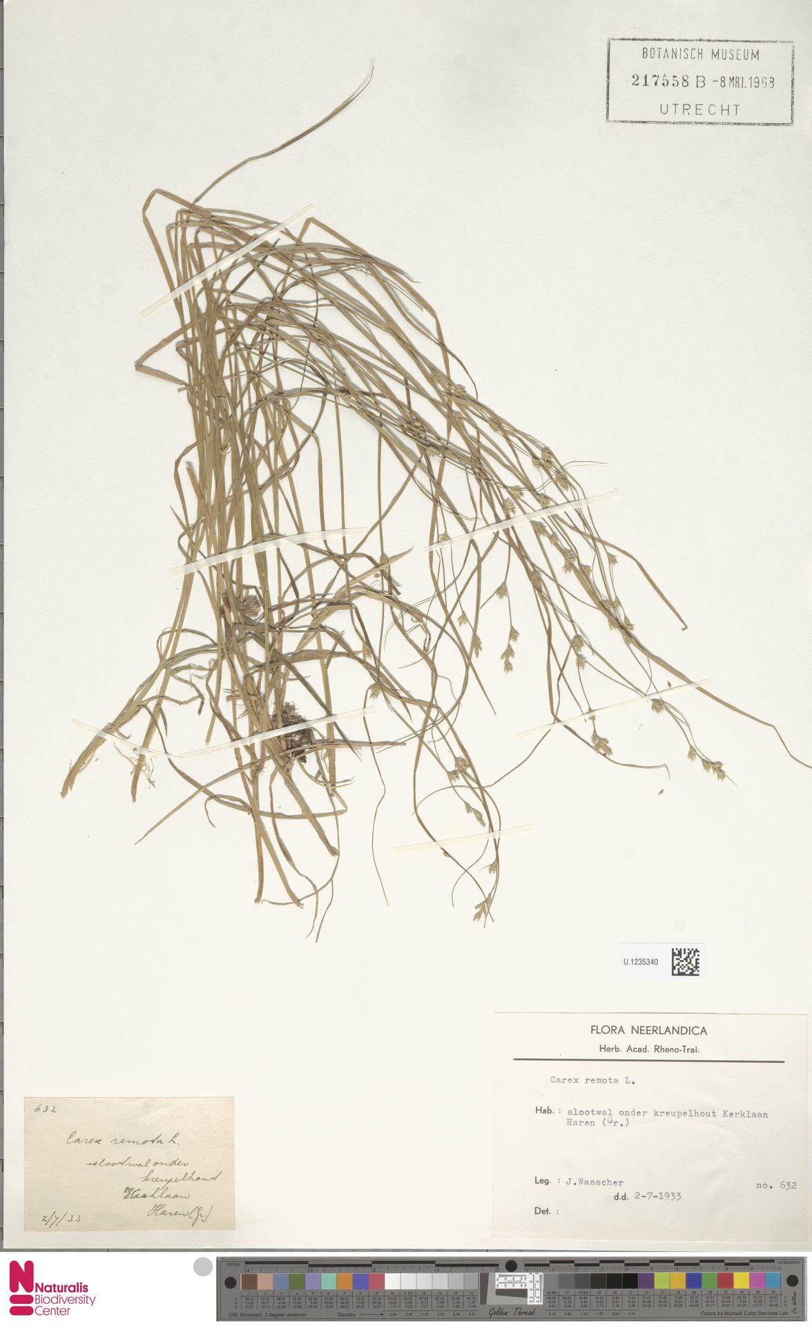 U.1235340 | Carex remota L.