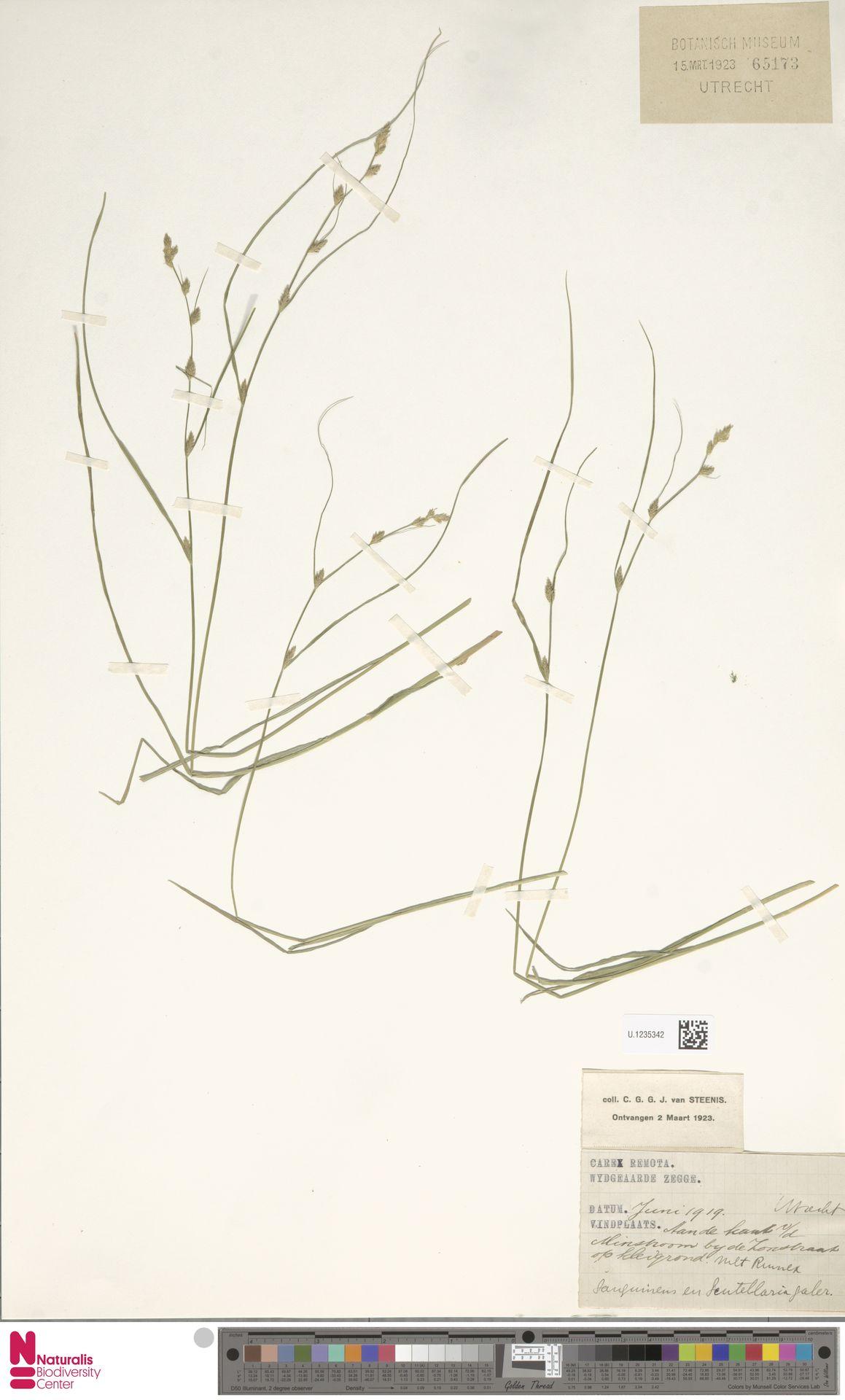 U.1235342 | Carex remota L.