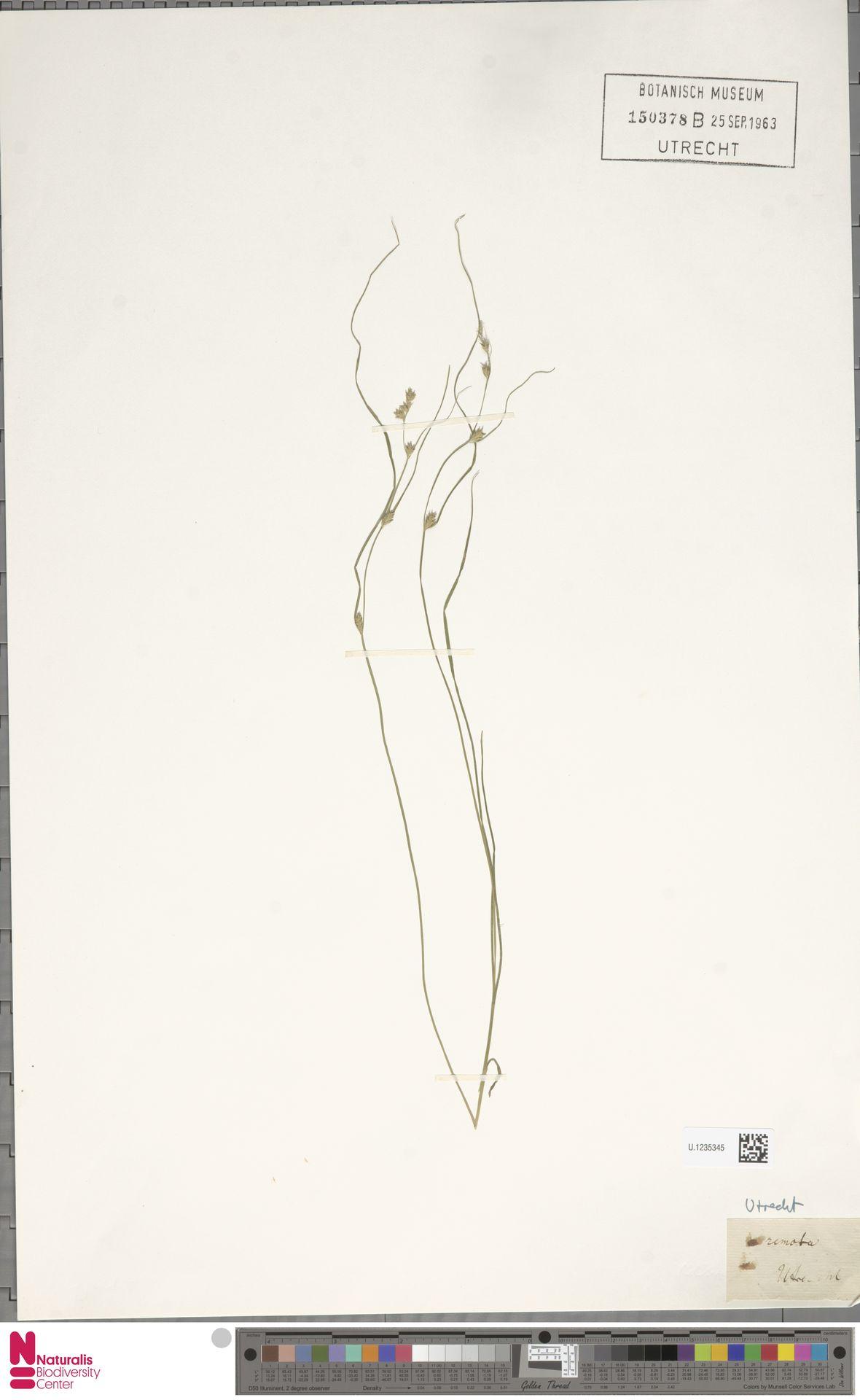 U.1235345   Carex remota L.