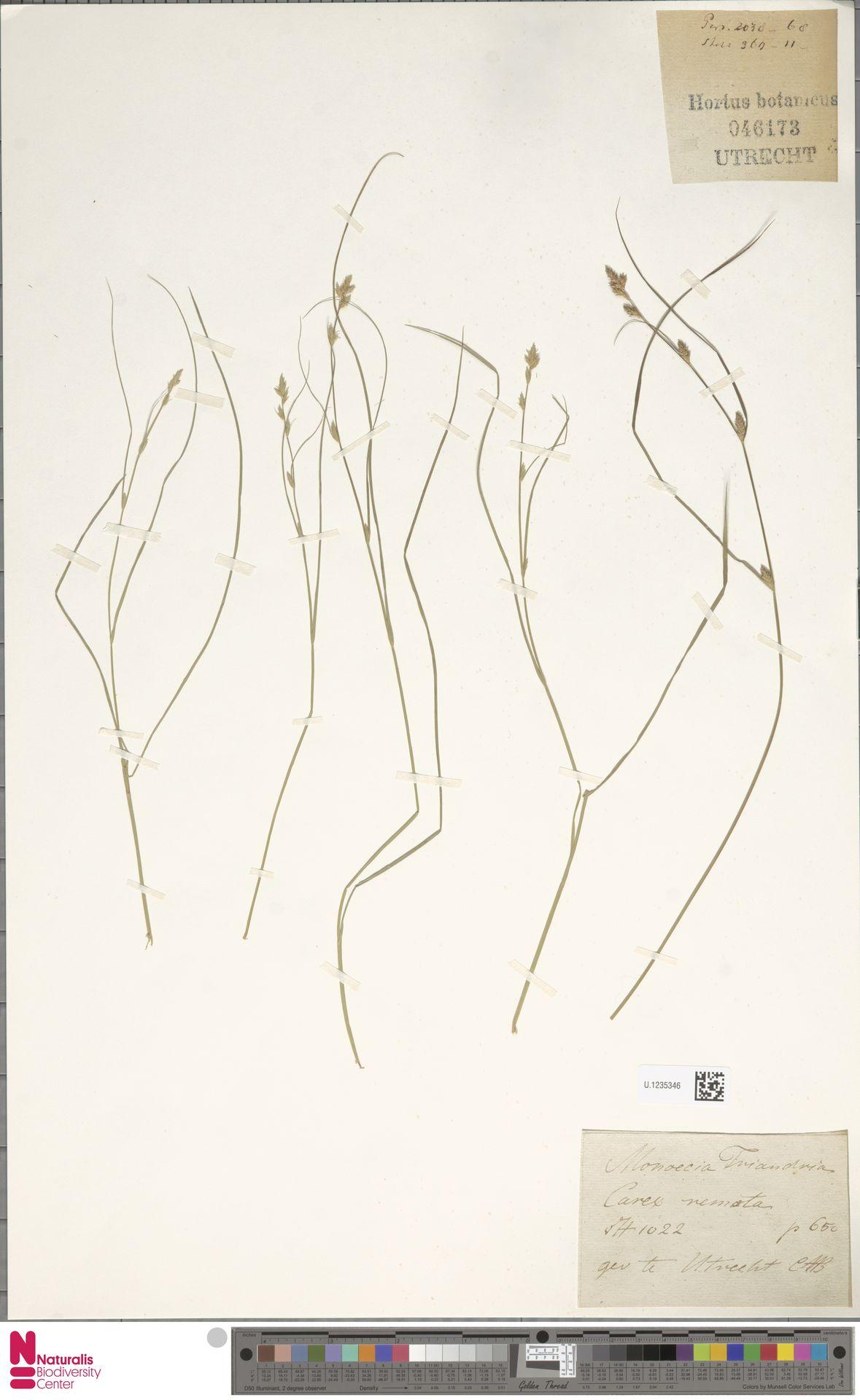 U.1235346 | Carex remota L.