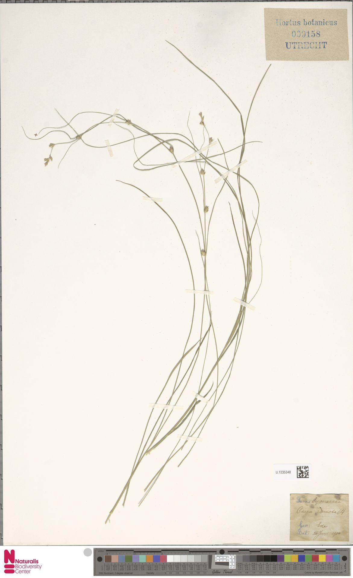 U.1235348   Carex remota L.