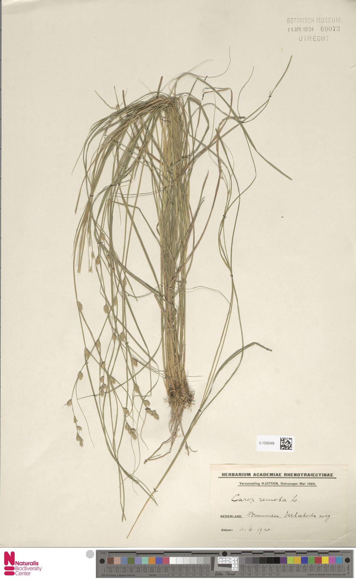 U.1235349 | Carex remota L.