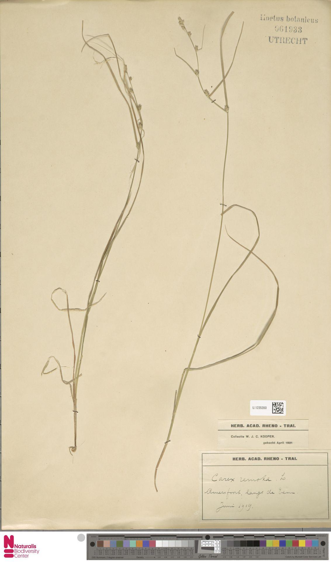 U.1235350 | Carex remota L.