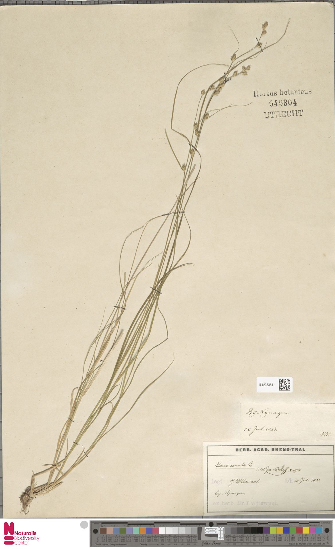 U.1235351 | Carex remota L.