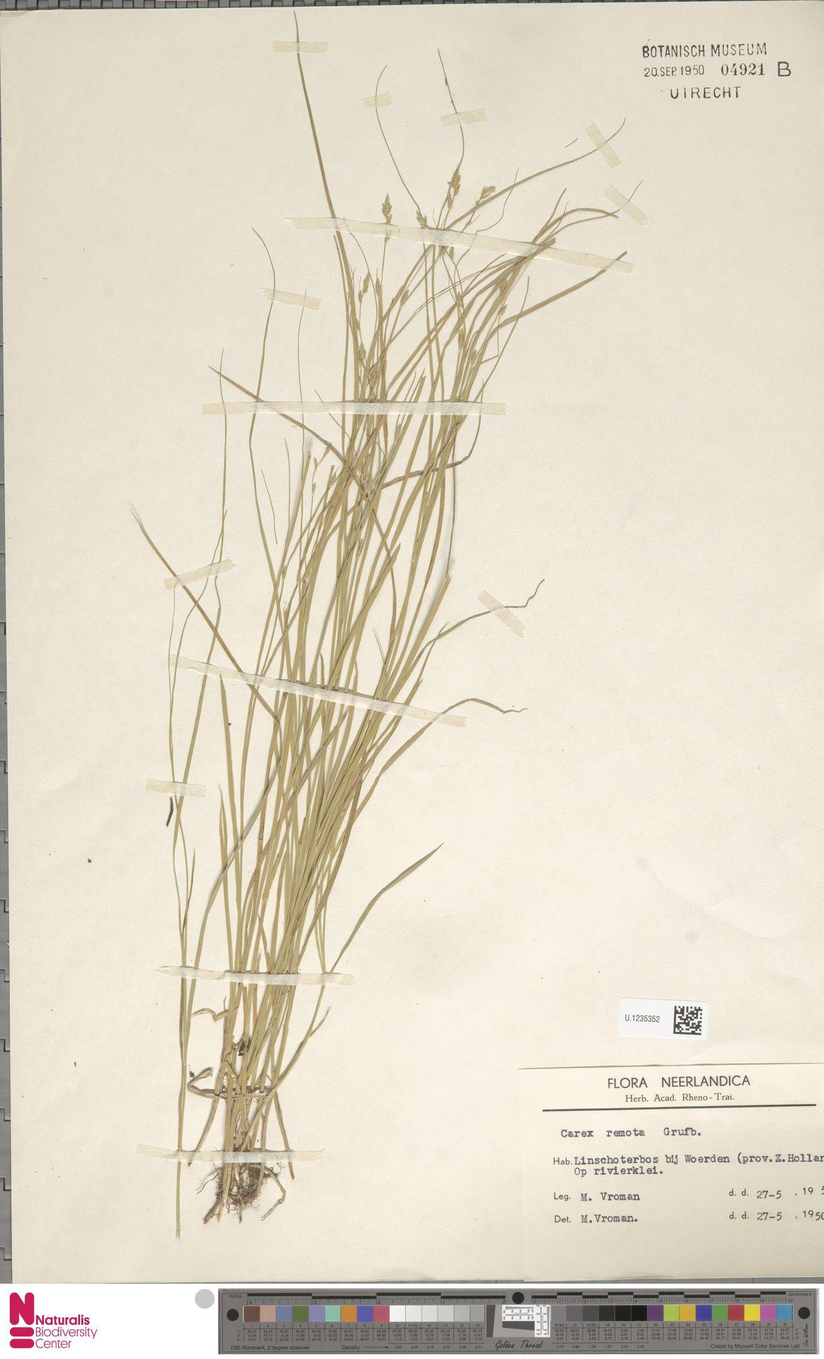 U.1235352 | Carex remota L.