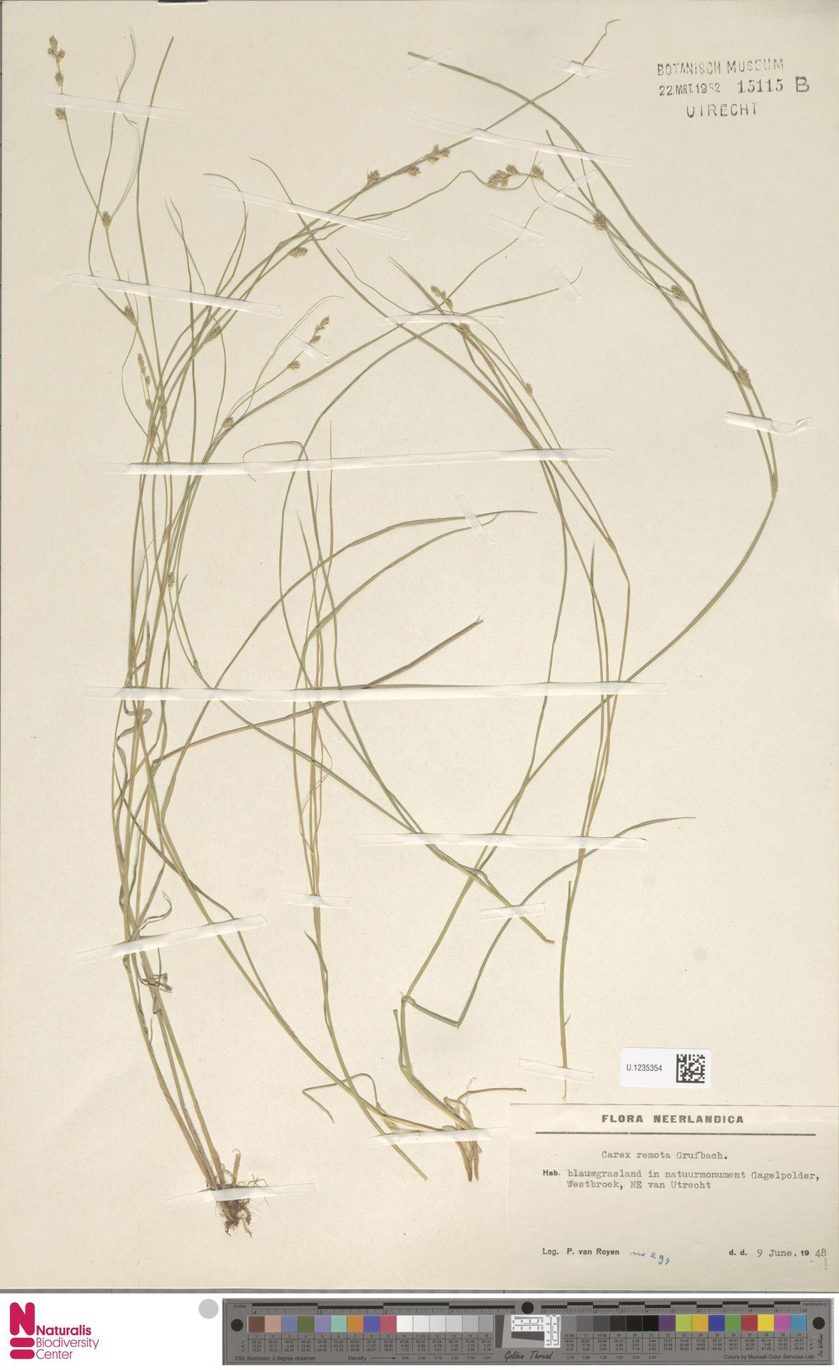 U.1235354 | Carex remota L.