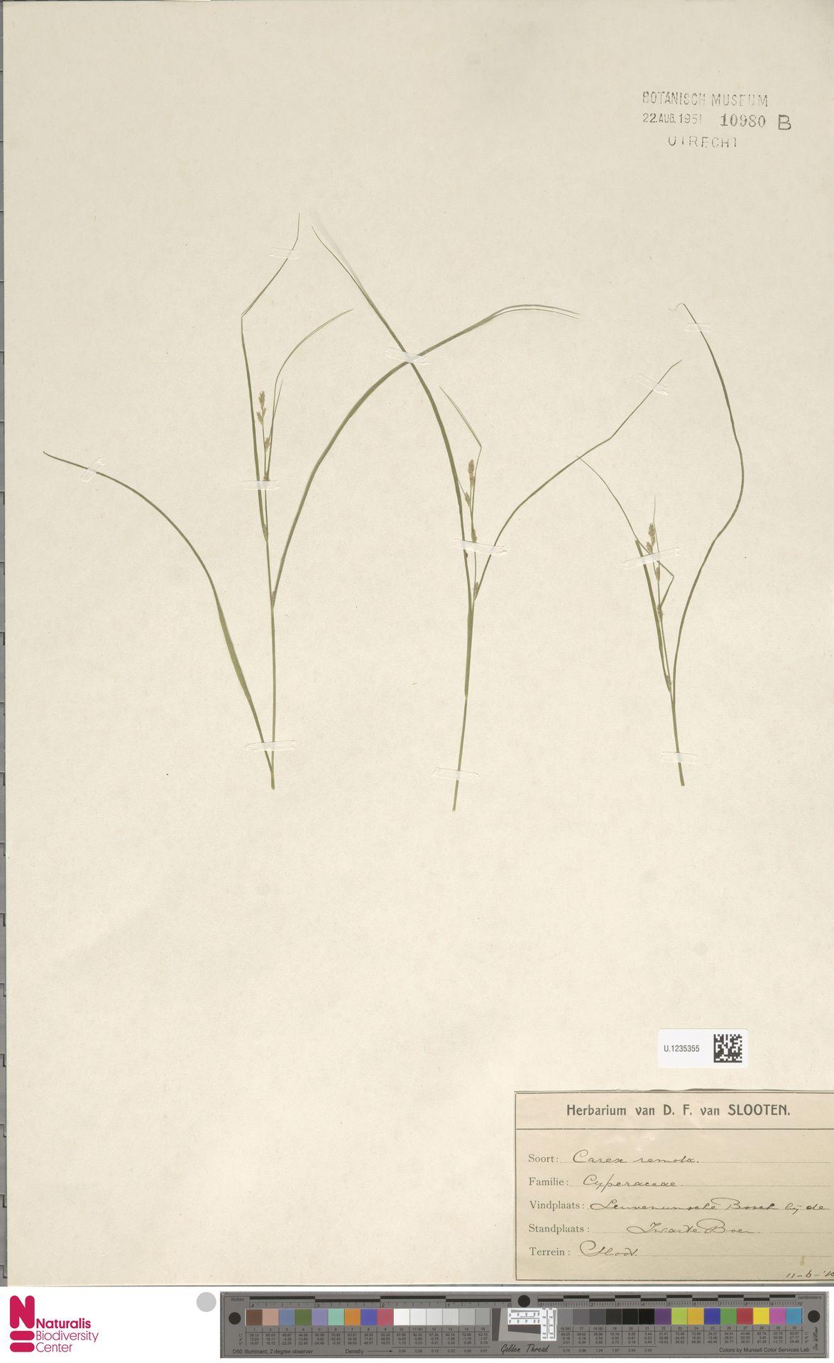 U.1235355 | Carex remota L.