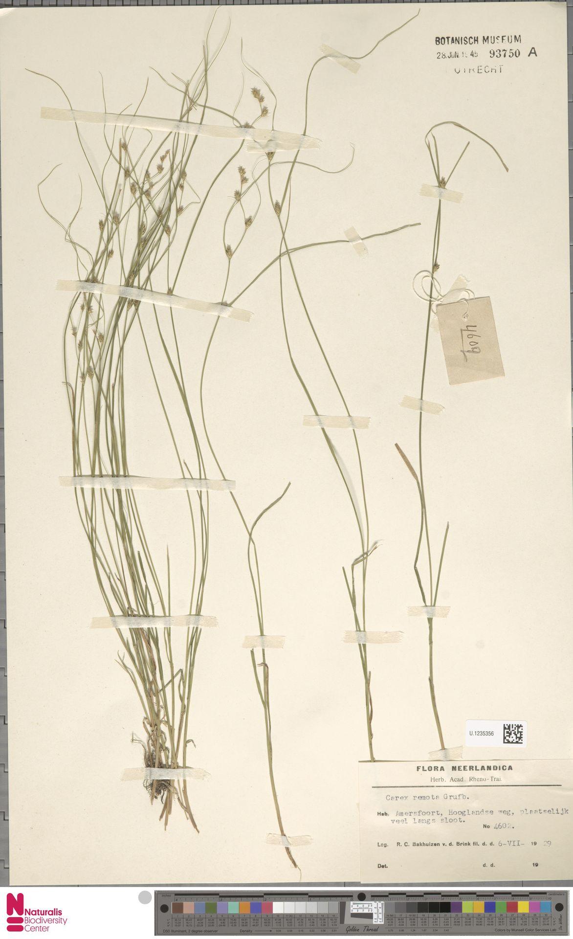 U.1235356 | Carex remota L.