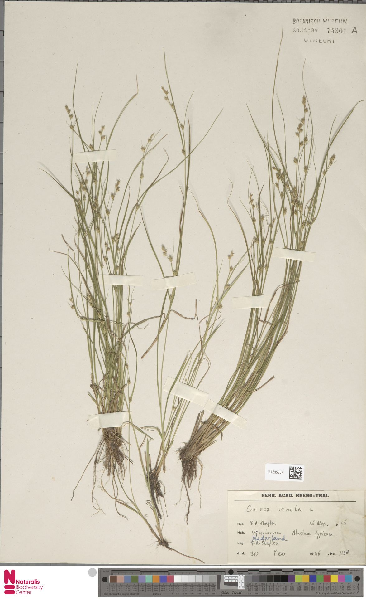 U.1235357 | Carex remota L.