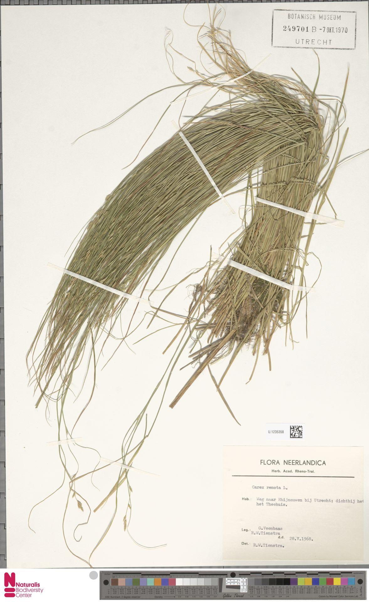 U.1235358 | Carex remota L.