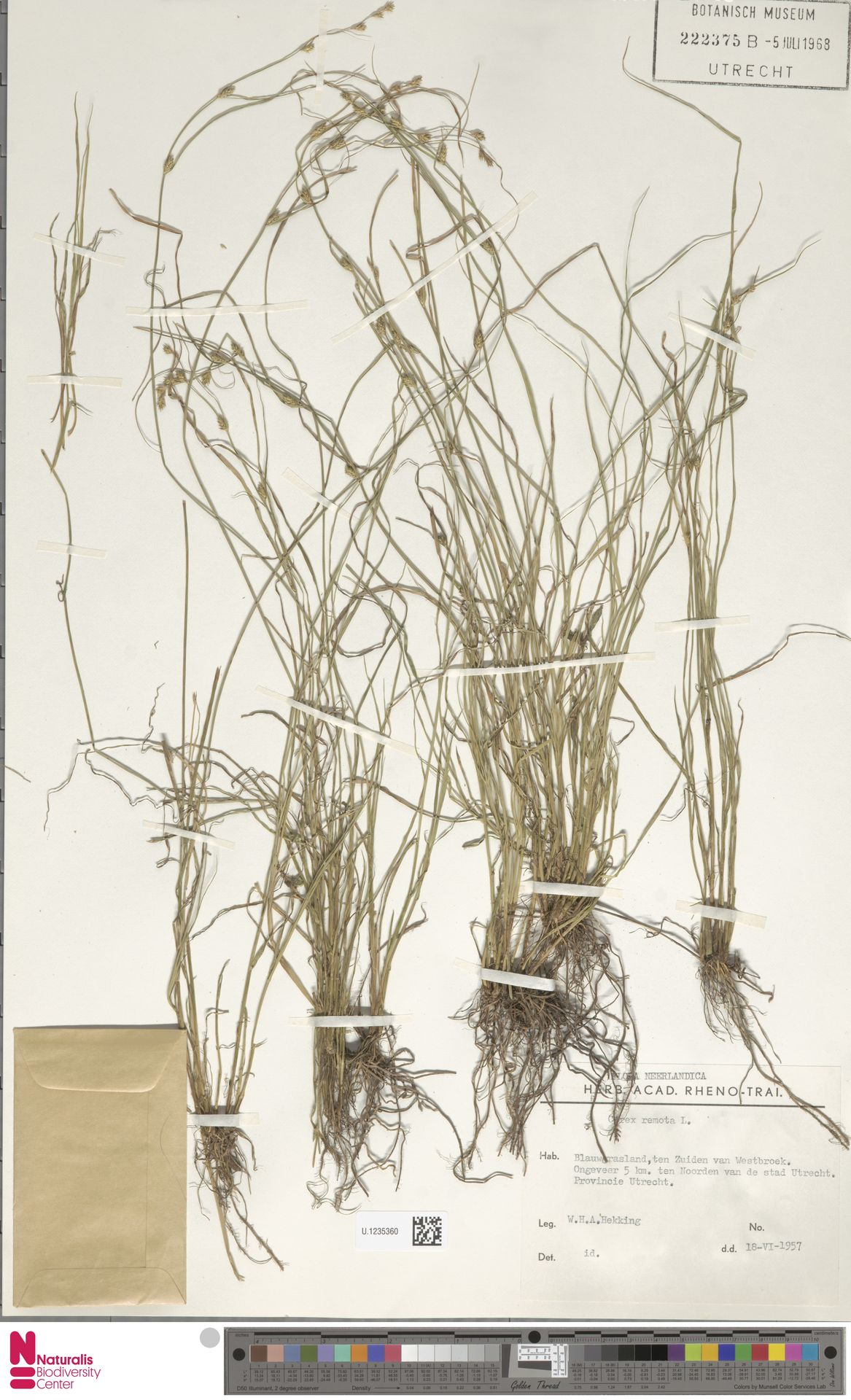 U.1235360   Carex remota L.