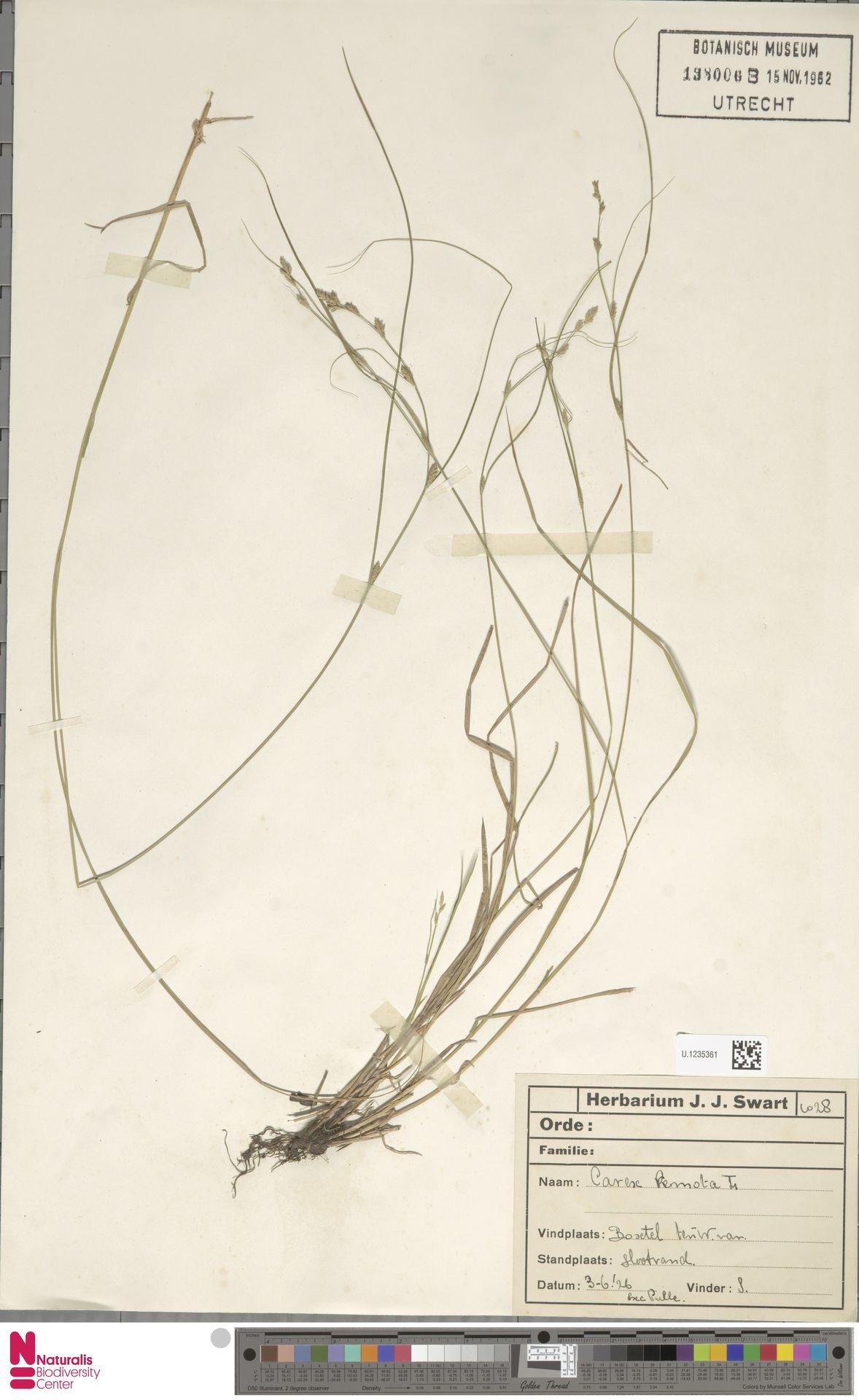 U.1235361 | Carex remota L.