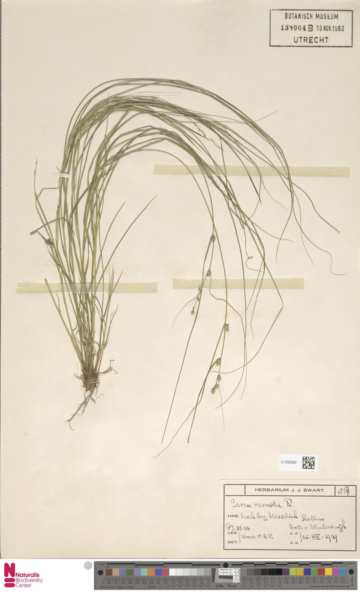 U.1235362 | Carex remota L.