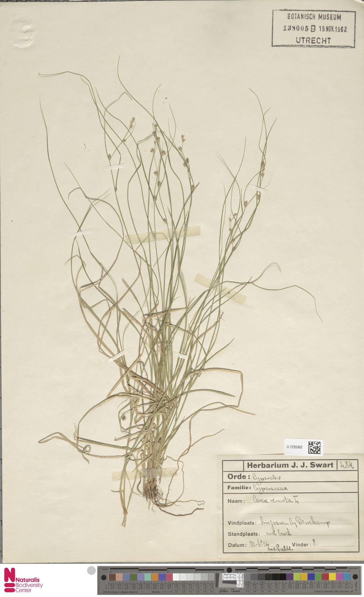 U.1235363 | Carex remota L.