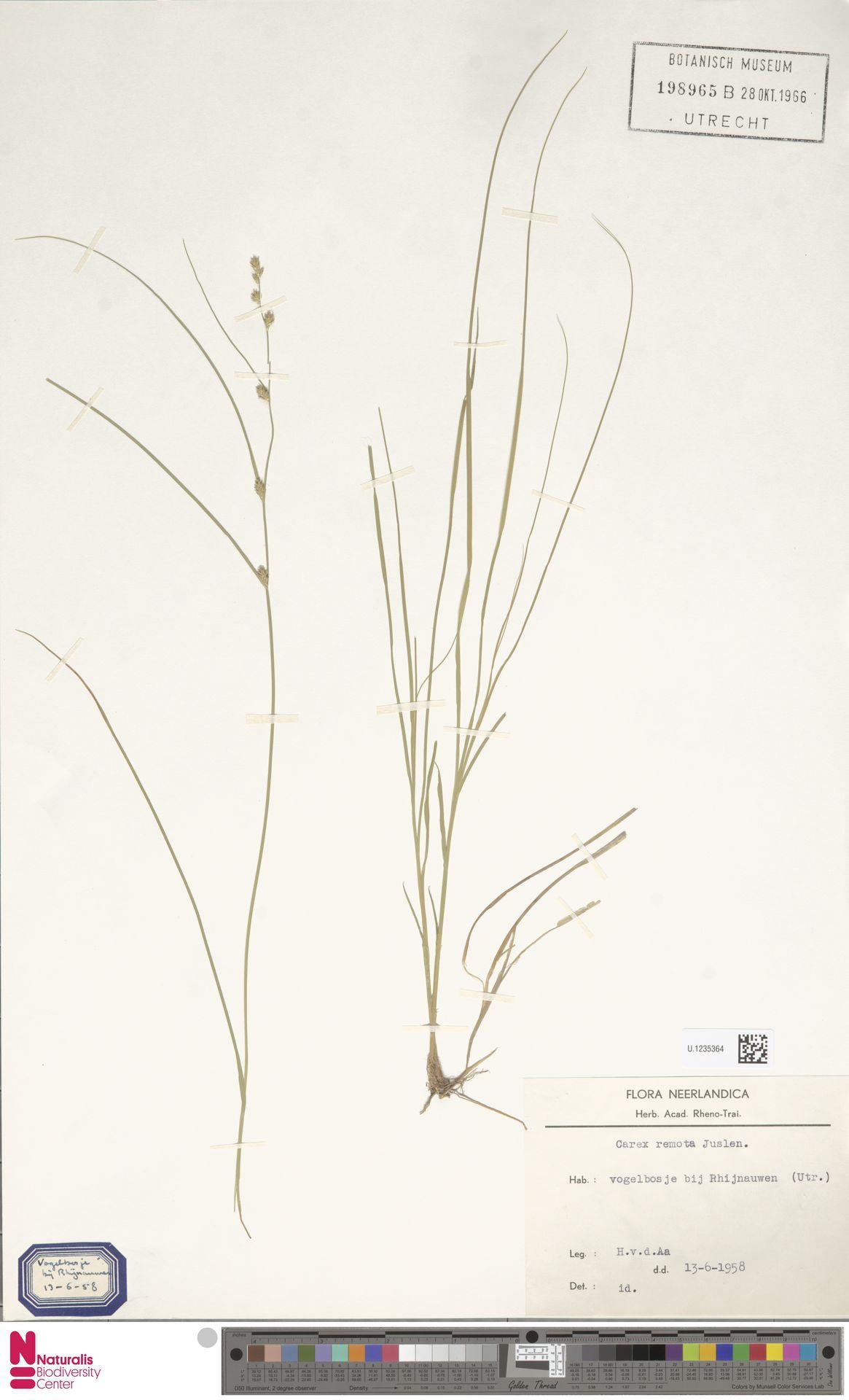 U.1235364   Carex remota L.