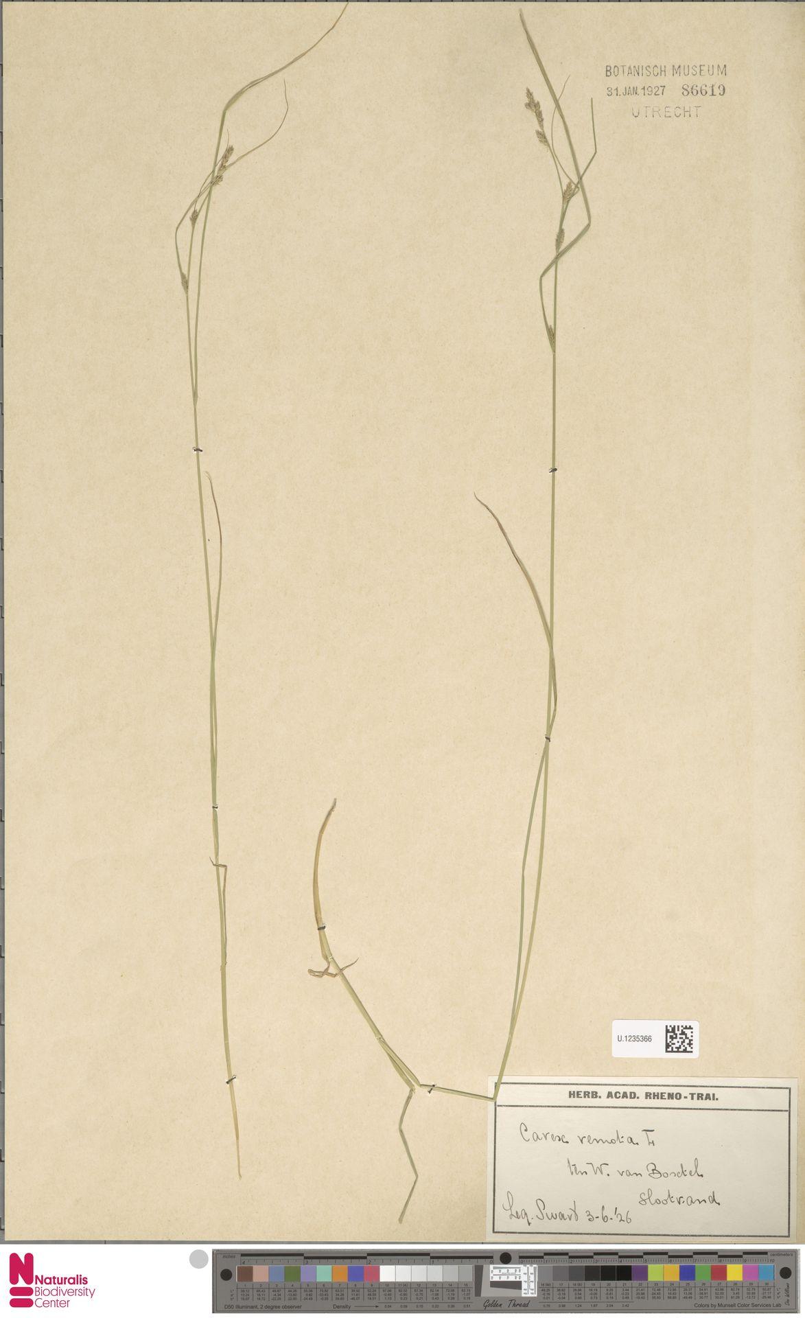 U.1235366 | Carex remota L.