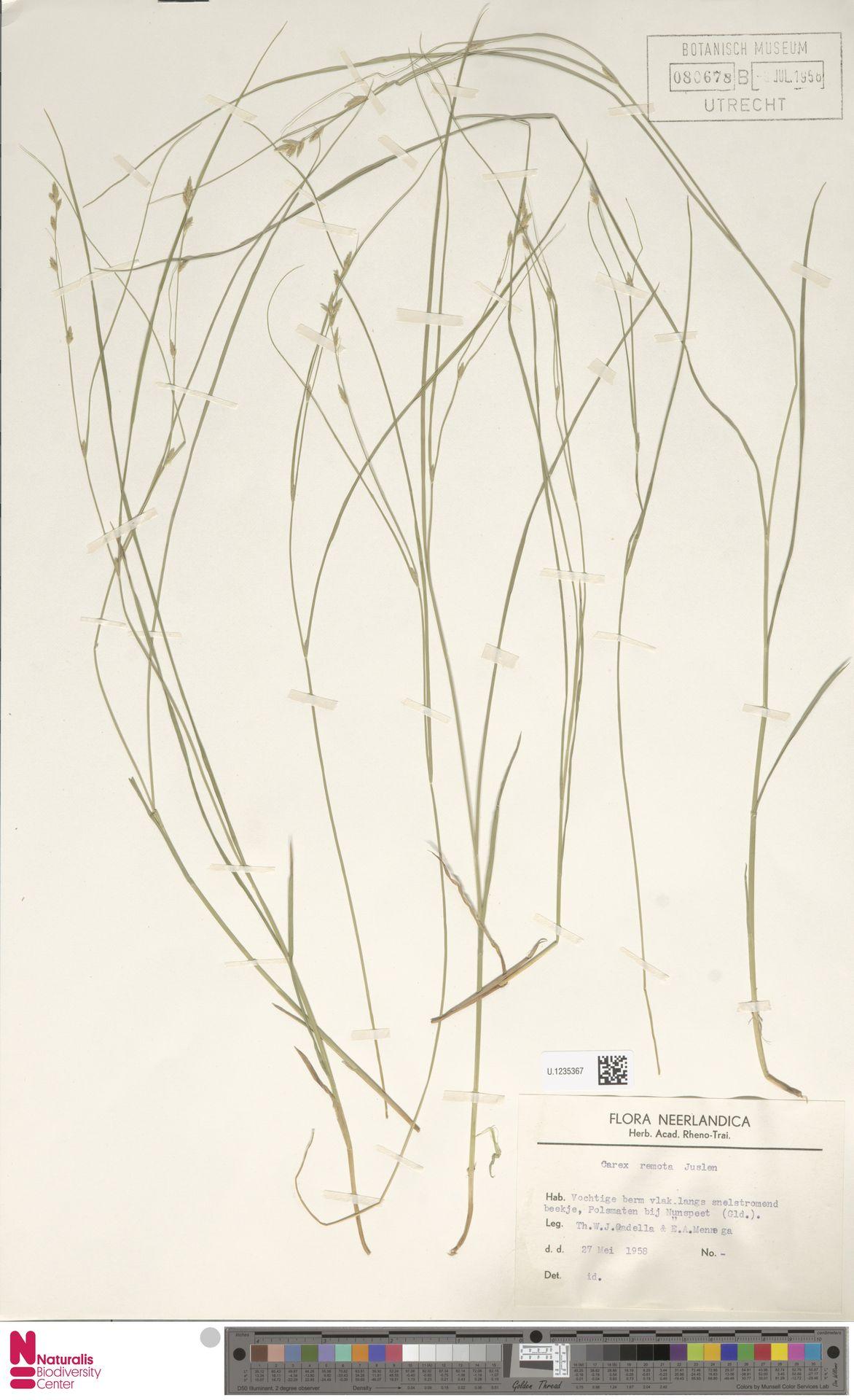 U.1235367 | Carex remota L.